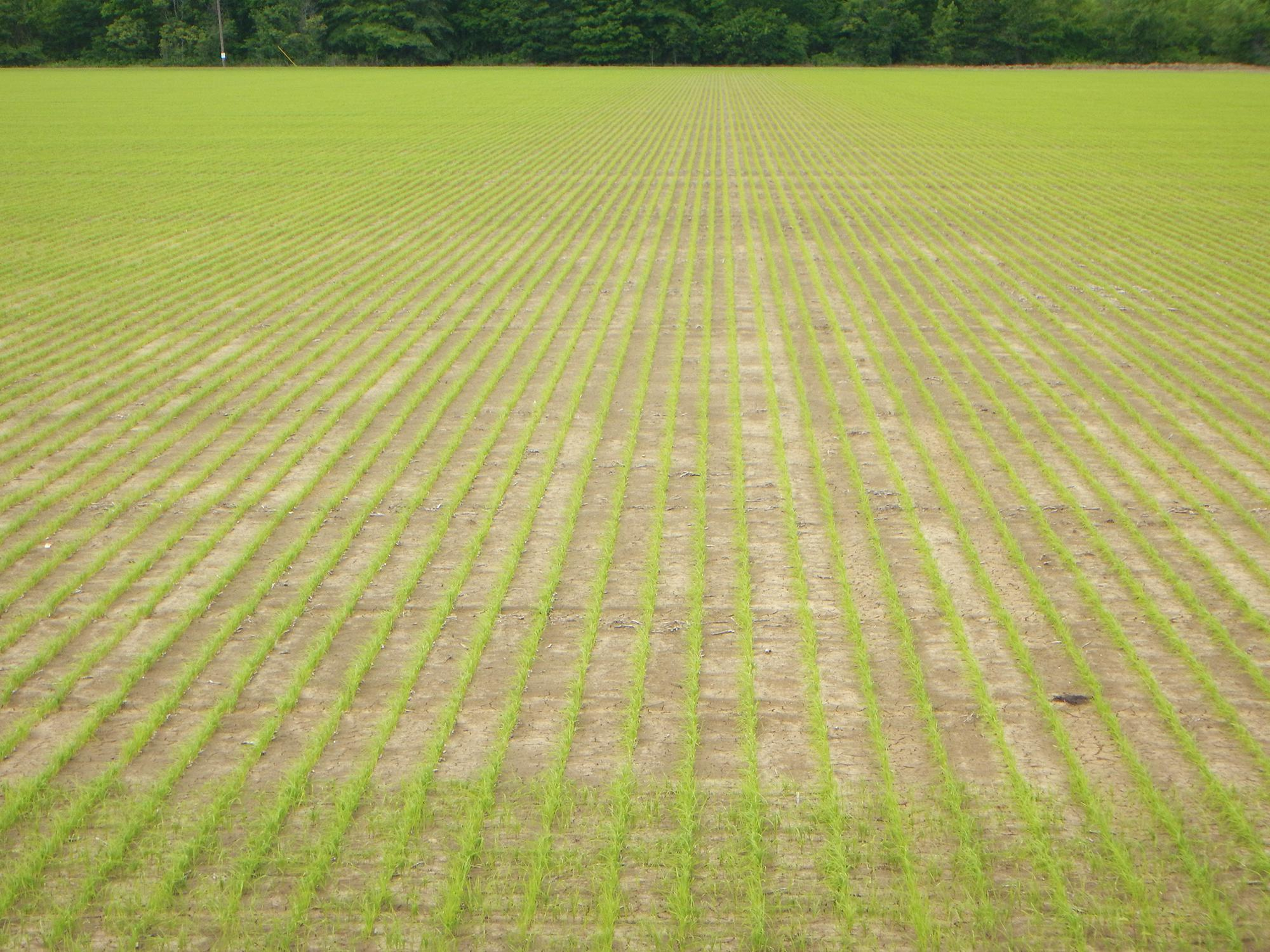 Although half the state's anticipated rice acreage was planted by late April, frequent rains have halted most planting in recent weeks. This rice field in Washington County, Mississippi, was photographed April 28, 2015. (Photo by Mississippi Agricultural and Forestry Experiment Station/Richard Turner)