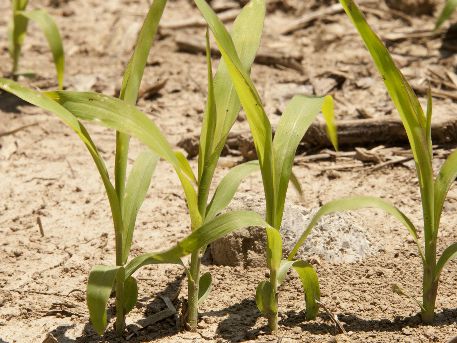 Despite insect challenges last year, grain sorghum acreage in Mississippi is expected to hold steady. This young sorghum was photographed in the Mississippi Delta April 30, 2015. (Photo by MSU Ag Communications/Kat Lawrence)