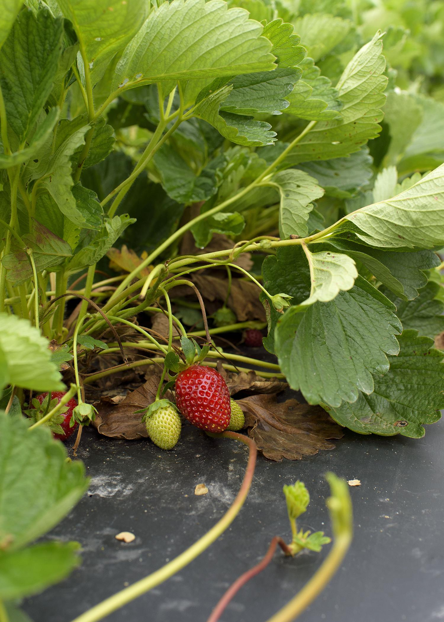 Strawberries at Lazy U Farm in Macon, Mississippi, are doing well on May 21, 2015, compared to most crops in the state. Frequent spring rains combined with poor plant growth, flowering and fruit set have decreased many growers' harvests. (Photo by MSU Ag Communications/Kevin Hudson)