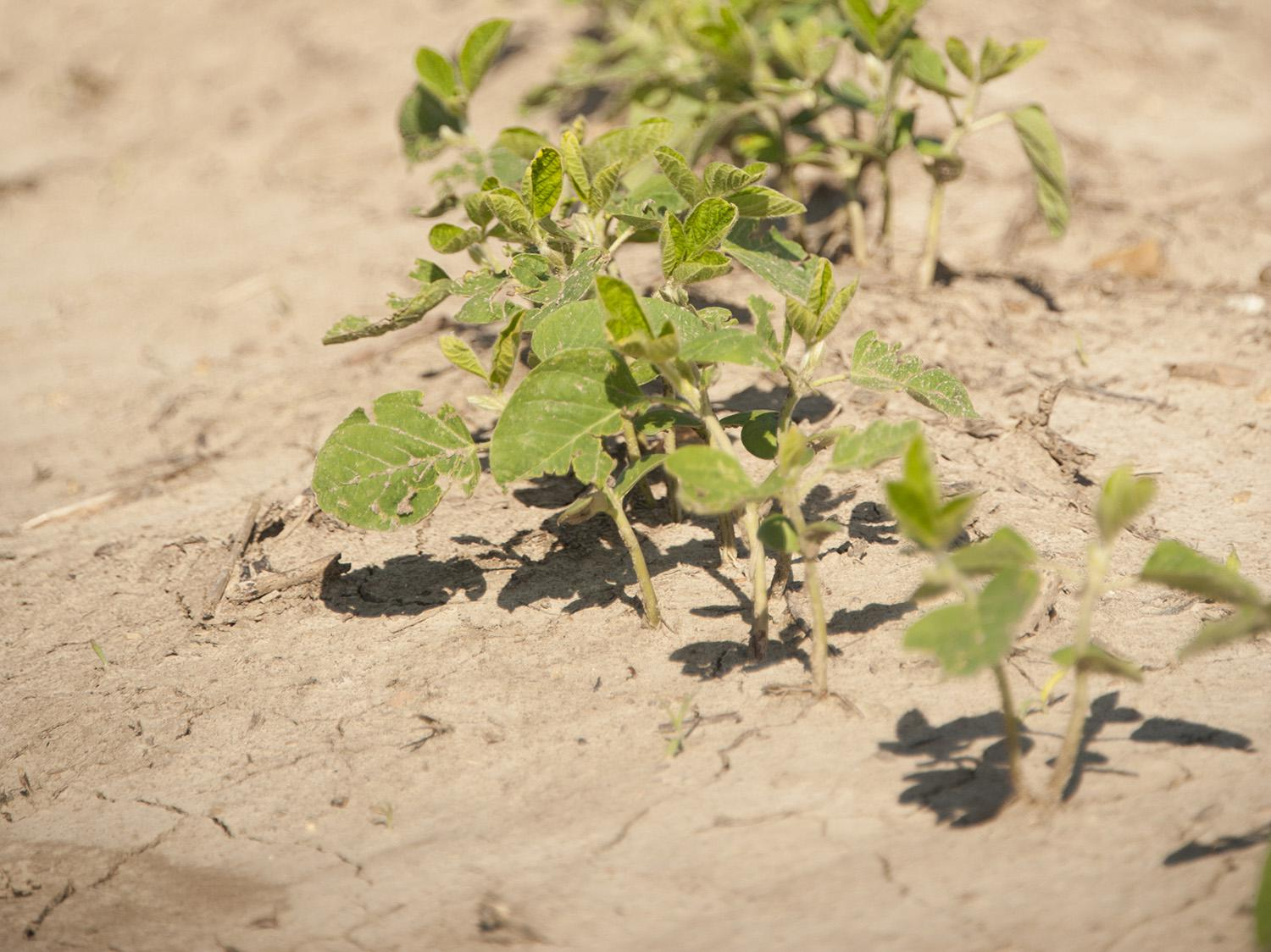 Dry, muggy June conditions have not stopped soybeans from thriving this growing season. Planted soybean acreage is more than 50,000 acres in excess of the forecast made by the U.S. Department of Agriculture in March. (File photo by MSU Ag Communications/Kat Lawrence)