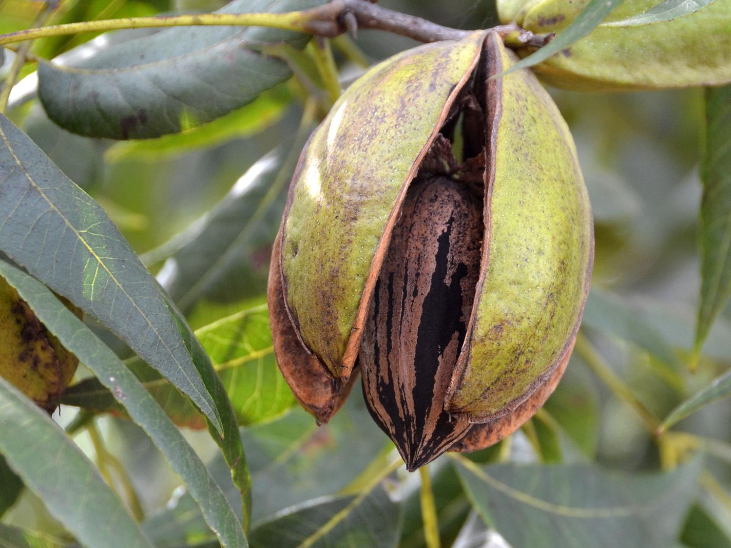This pecan at Pecan Hills Farms in Raymond, Mississippi, is open but not quite ready for harvest on Oct. 8, 2015. The state's harvest is delayed by a few weeks because of the dry summer. (Photo by MSU Extension/Susan Collins-Smith)