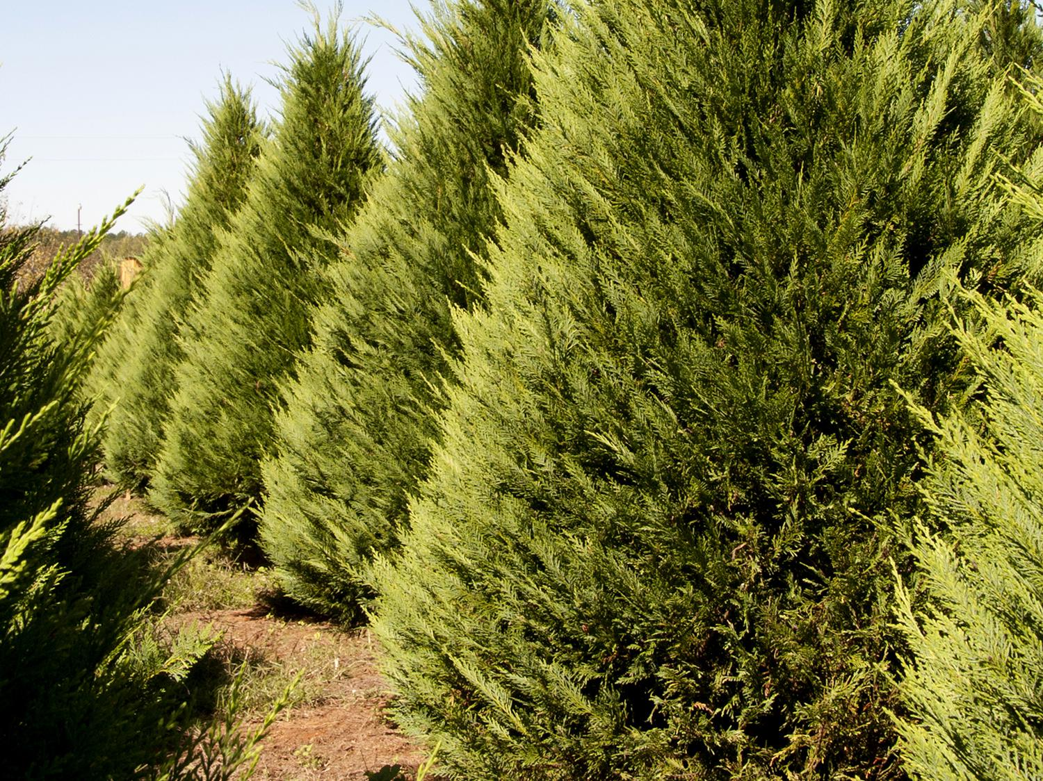 Expect to pay anywhere from $7 to $10 per foot for a choose-and-cut Christmas tree this year. (File photo by MSU Extension/Kat Lawrence)