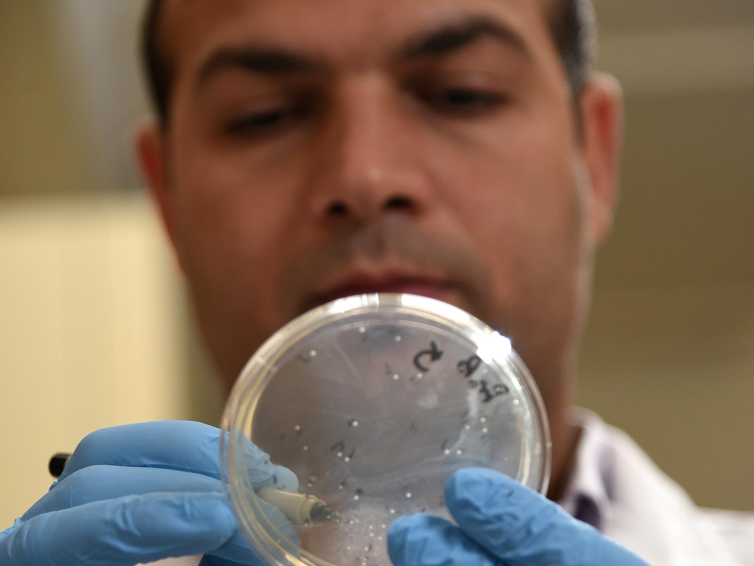 Dr. Hossam Abdelhamed, a postdoctoral fellow at the Mississippi State University College of Veterinary Medicine, examines an agar plate with bacterial colonies of listeria. A group of researchers at the college, including Abdelhamed, developed a faster, more efficient method of performing genetic studies of listeria, which will help scientists worldwide find ways to better control the pathogen and treat those who become ill. (Photo by MSU College of Veterinary Medicine/Tom Thompson)