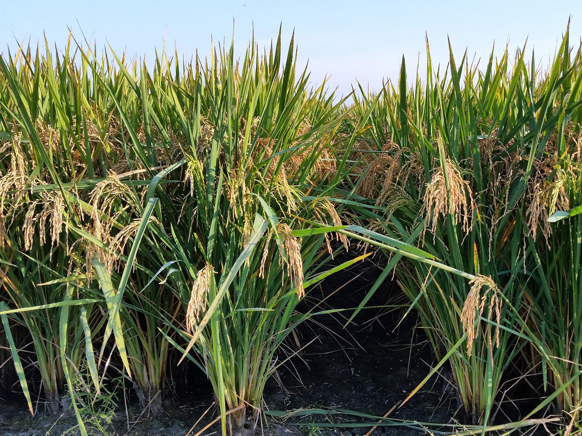 A Thad rice paddy is pictured at the Delta Research and Extension Center in Stoneville, Mississippi, on September 17, 2014. (Photo by MSU Delta Research and Extension Center/Ed Redoña)
