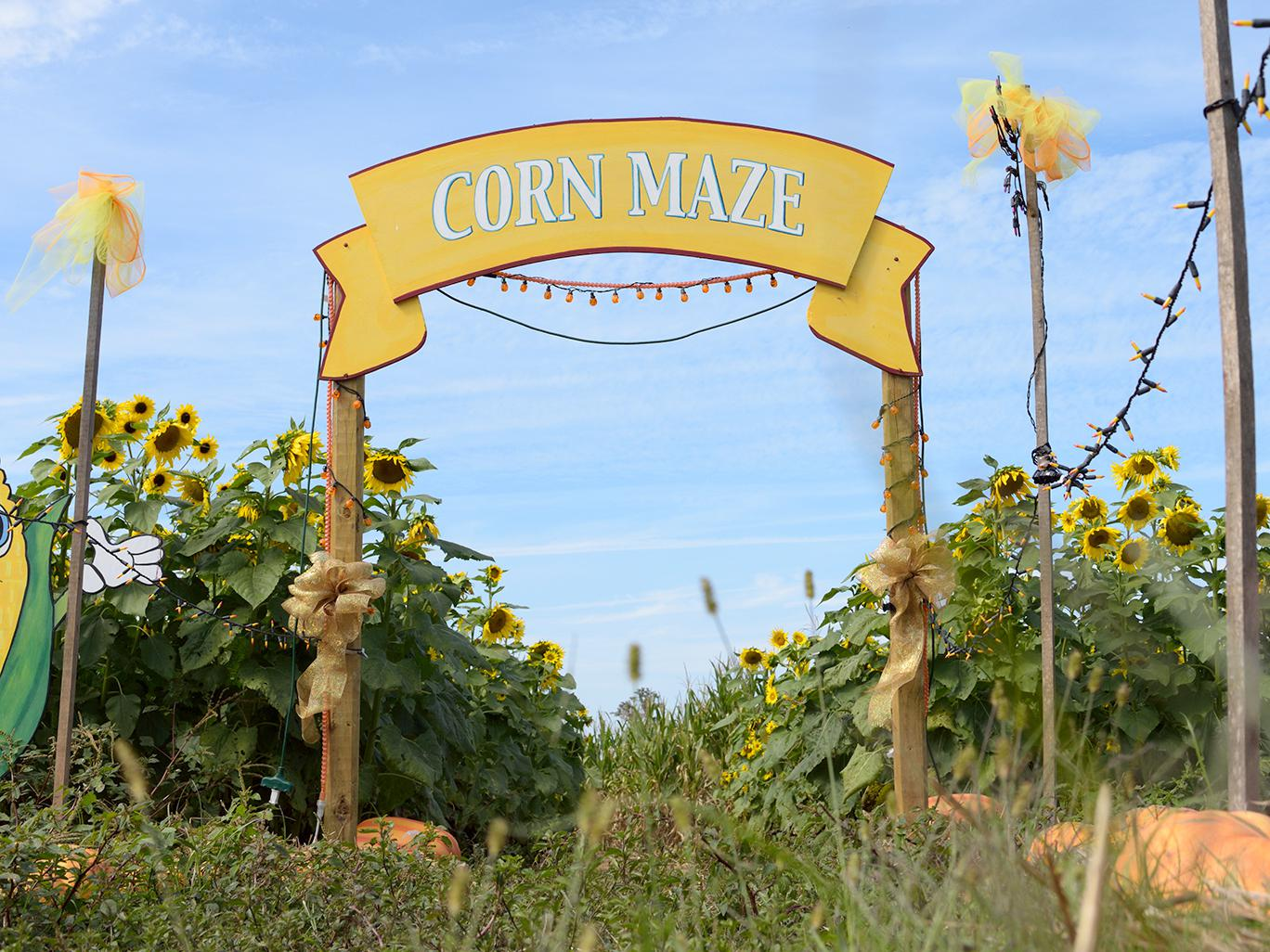 Agritourism offers opportunities for entertainment -- such as this corn maze shown at Mitchell Farms in Collins, Mississippi -- that also educate about agriculture and add to local revenue streams. (File photo by MSU Extension Service/Kevin Hudson)