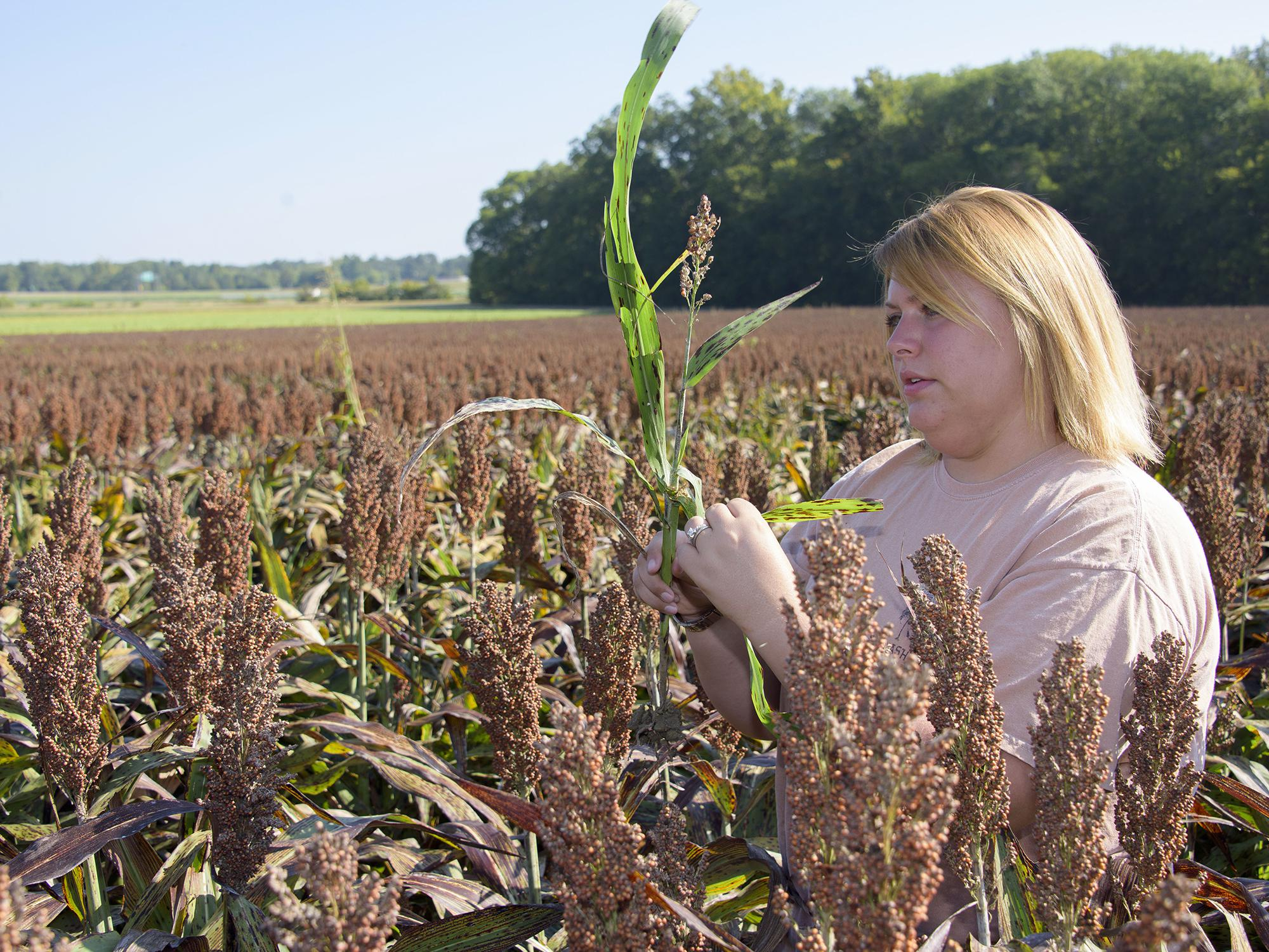 Brittany Lipsey, a Mississippi State University graduate student from Louisville, Mississippi, is researching management techniques that can be used to combat sugarcane aphids, helping sorghum farmers have a sustainable future with the crop. (Photo by MSU Extension Service/Kevin Hudson)