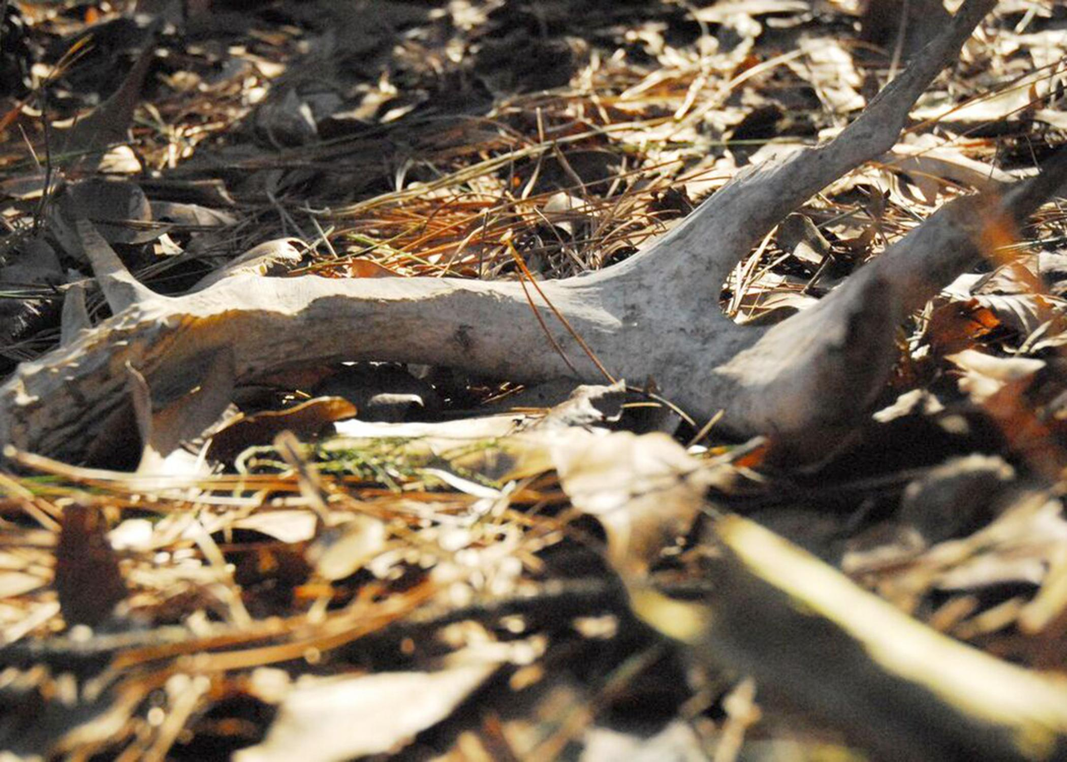 After the winter breeding season, male white-tailed deer shed their antlers, which sometimes can be found by naturalists walking through the woods. (Photo by MSU Extension/Melissa Grimes)
