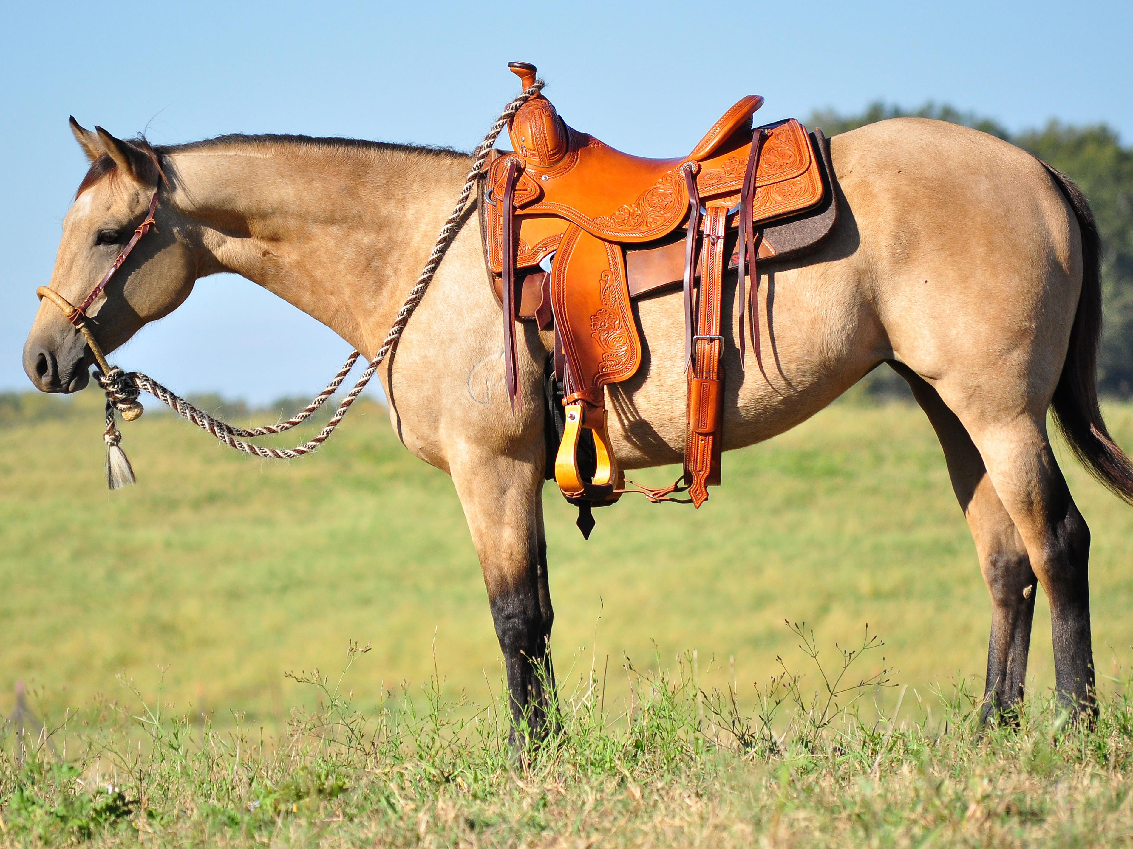 "MSU Merlins Pizazz, otherwise known as ""Daisy,"" is a beautiful, 2-year-old buckskin mare and one of 17 horses available for purchase through the annual online Mississippi State University horse auction. (Photo by MSU College of Agriculture and Life Sciences/Elizabeth Caldwell)"