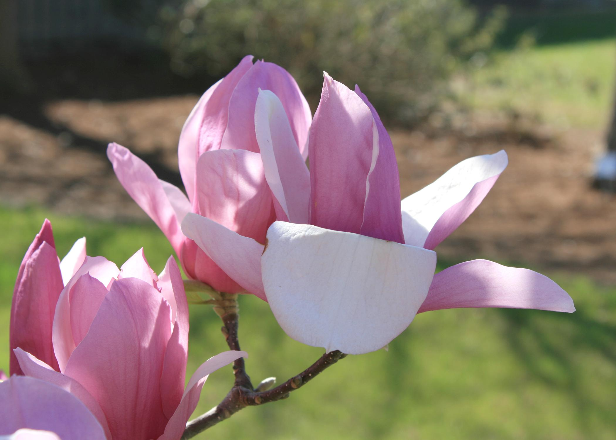 Some saucer magnolias can have blooms up to 10 inches across with colors ranging from white and pink to a bold purple. (Photo by MSU Extension/Gary Bachman)
