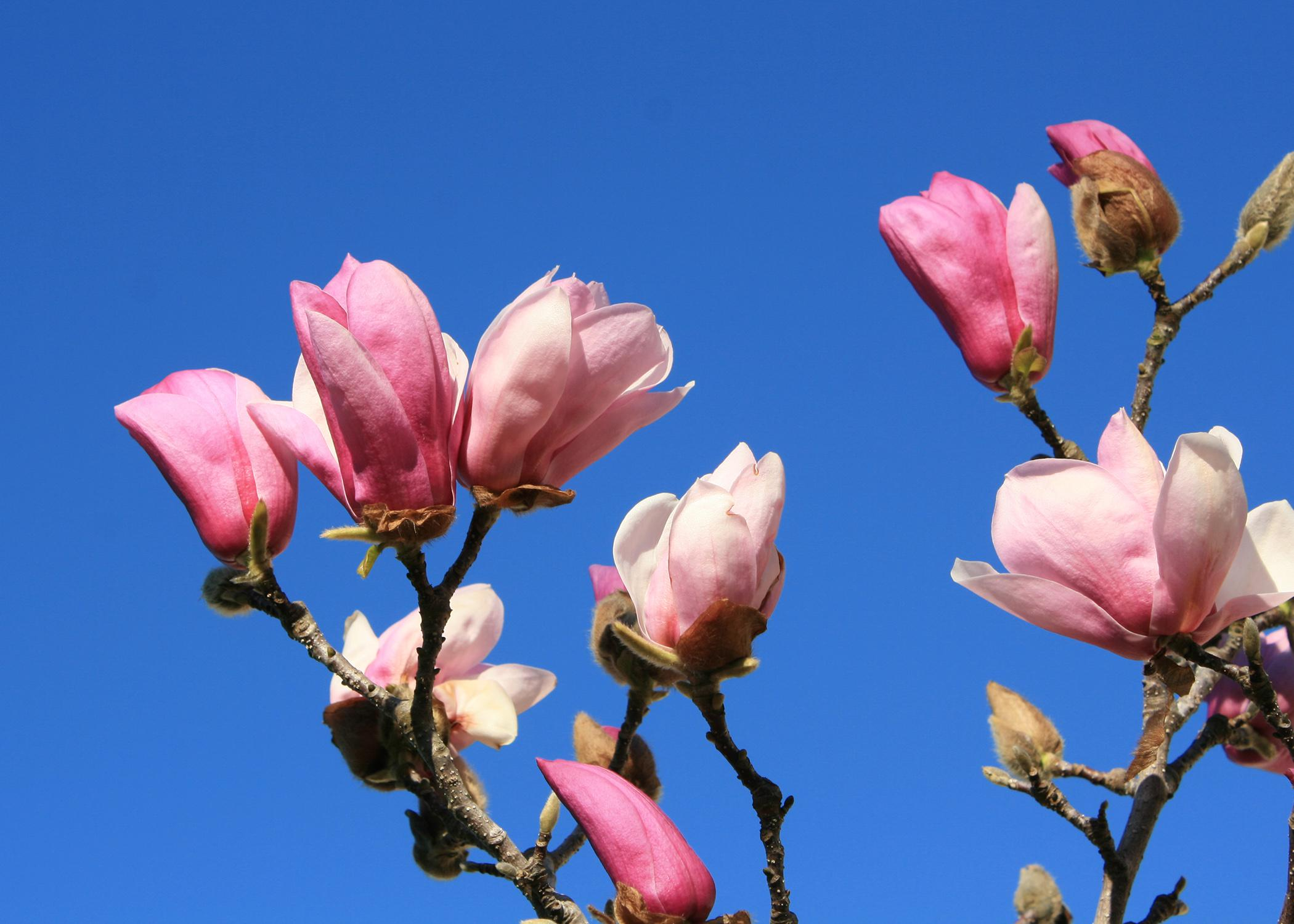 The buds and blooms of the saucer magnolia are fairly reliable early indicators of spring in Mississippi. (Photo by MSU Extension Service/Gary Bachman)