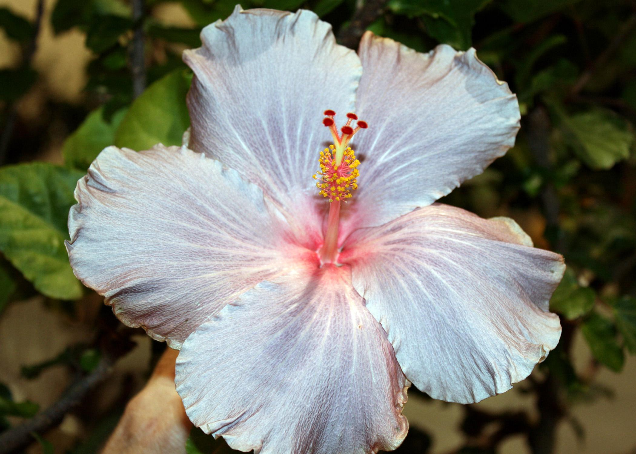 The Cajun hibiscus series is a wonderful line that has 38 colorful selections, including Cajun Gray. (Photo by MSU Extension Service/Gary Bachman)