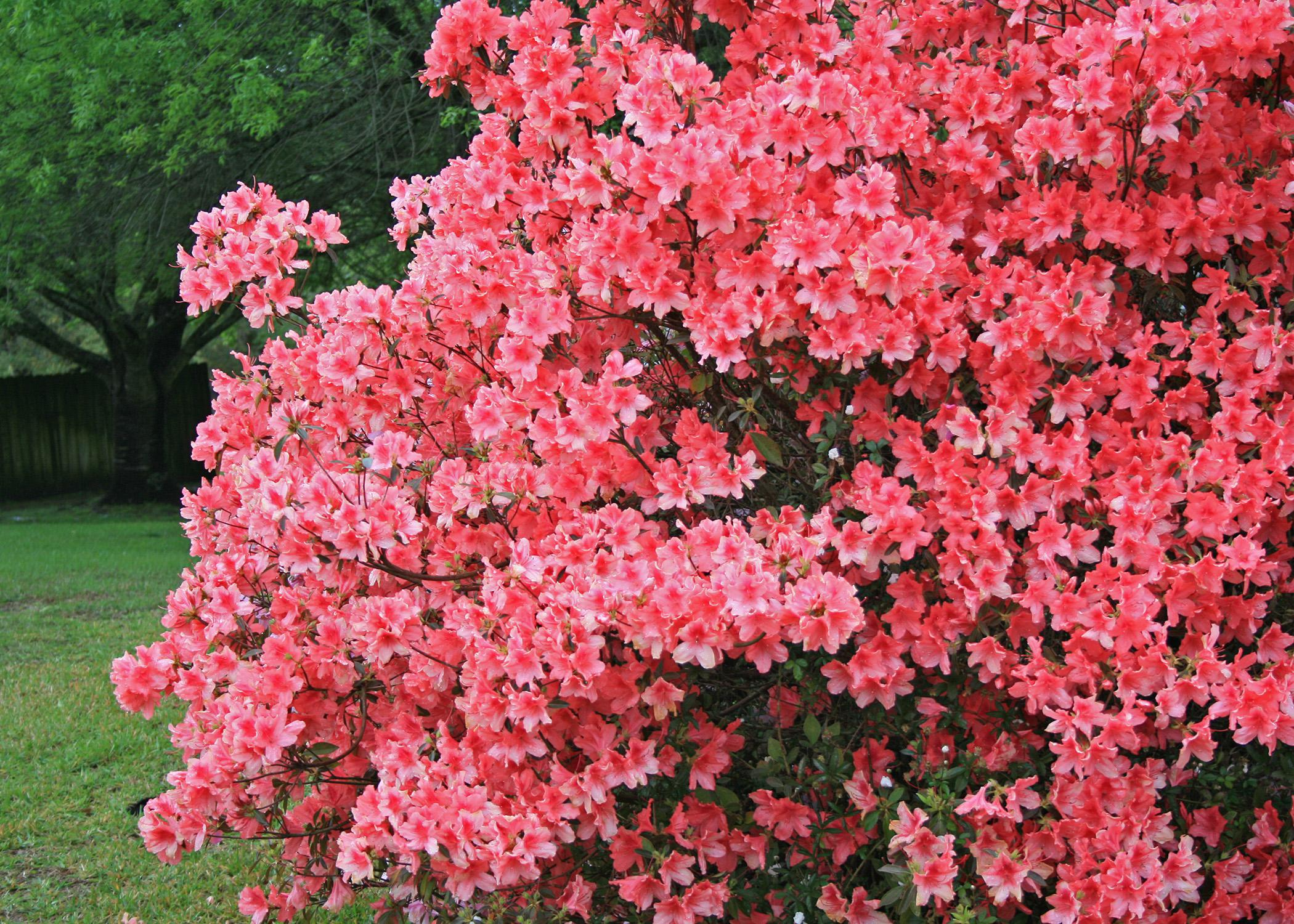 Correct Pruning Allows Garden Plants To Thrive Mississippi State