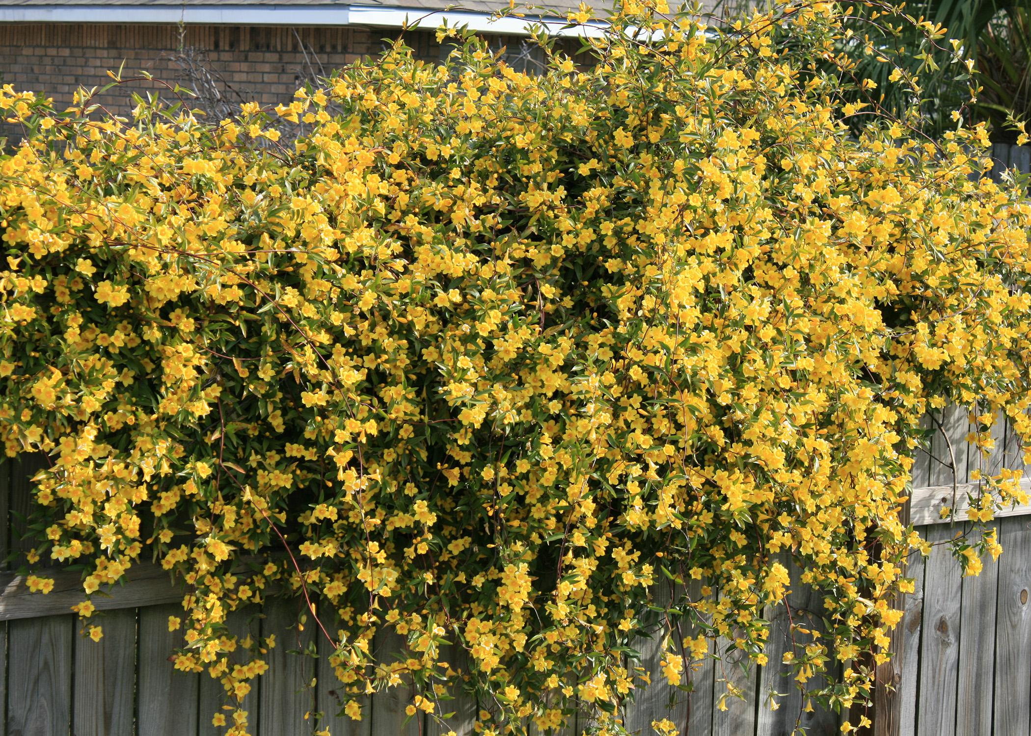 Plant flowering vines now for great show next spring mississippi native yellow jasmine or yellow jessamine adds one of the first touches of color izmirmasajfo