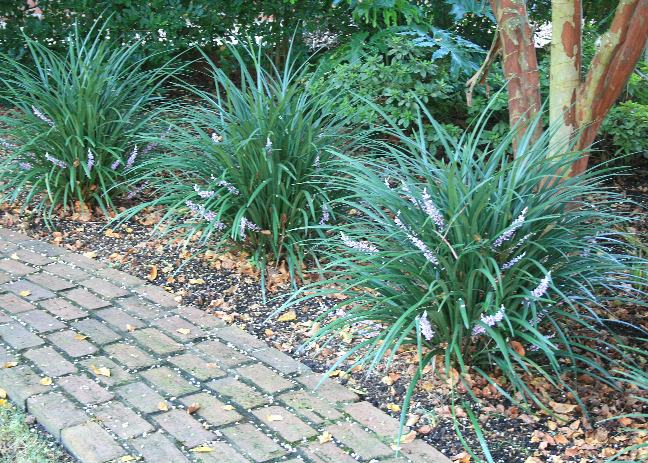 Old fashioned liriope is current garden staple for Garden information sites