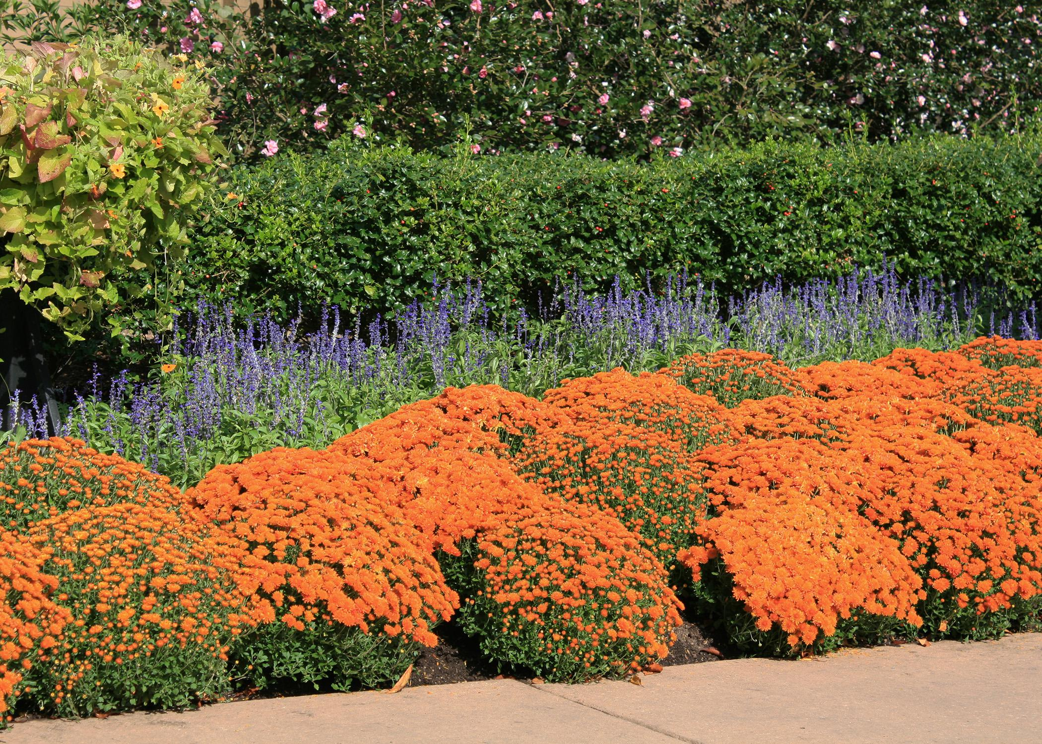Instant Fall Garden : Use mums to give instant fall colors mississippi state