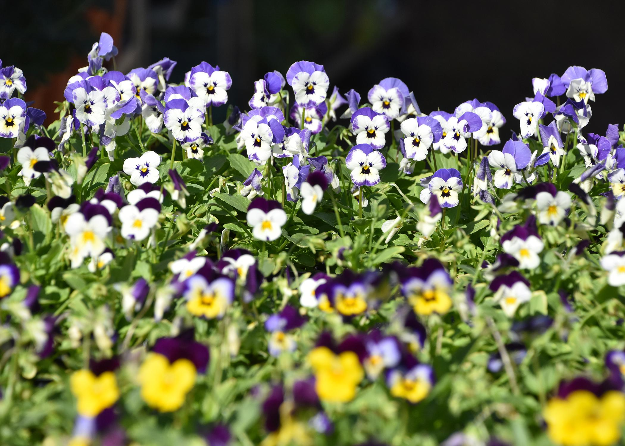 Violas come in a wide variety of colors and produce flowers in prolific numbers. (Photo by MSU Extension Service/Gary Bachman)