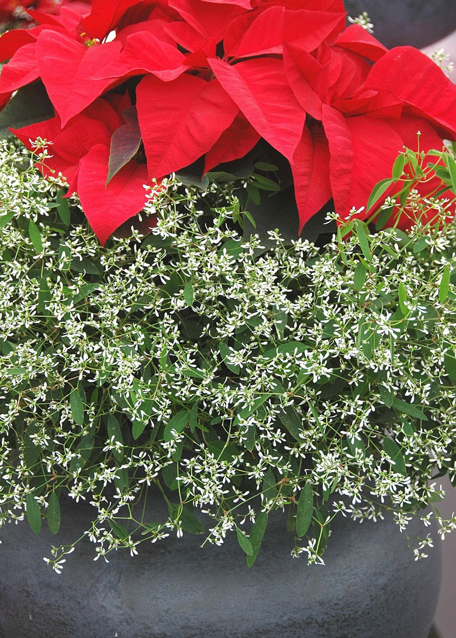 The hundreds of tiny, white flowers of Diamond Frost provide the perfect contrast to a favorite poinsettia color grouped together in one container. (File Photo/ MSU Extension)