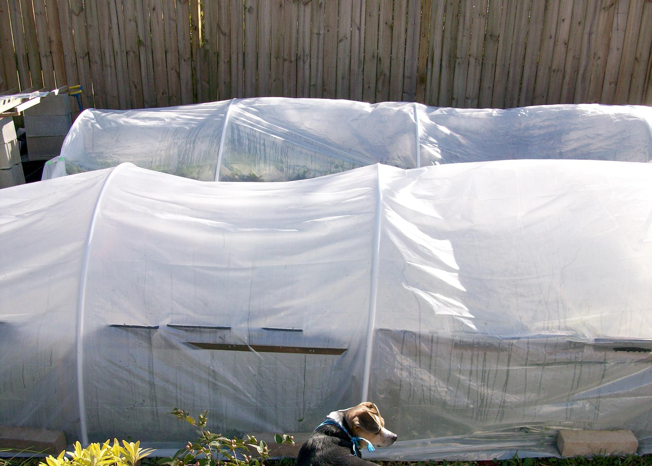 Use plastic pipe and plastic sheeting to make easy, small greenhouse structures to provide winter cold protection. (Photo by MSU Extension Service/Gary Bachman)