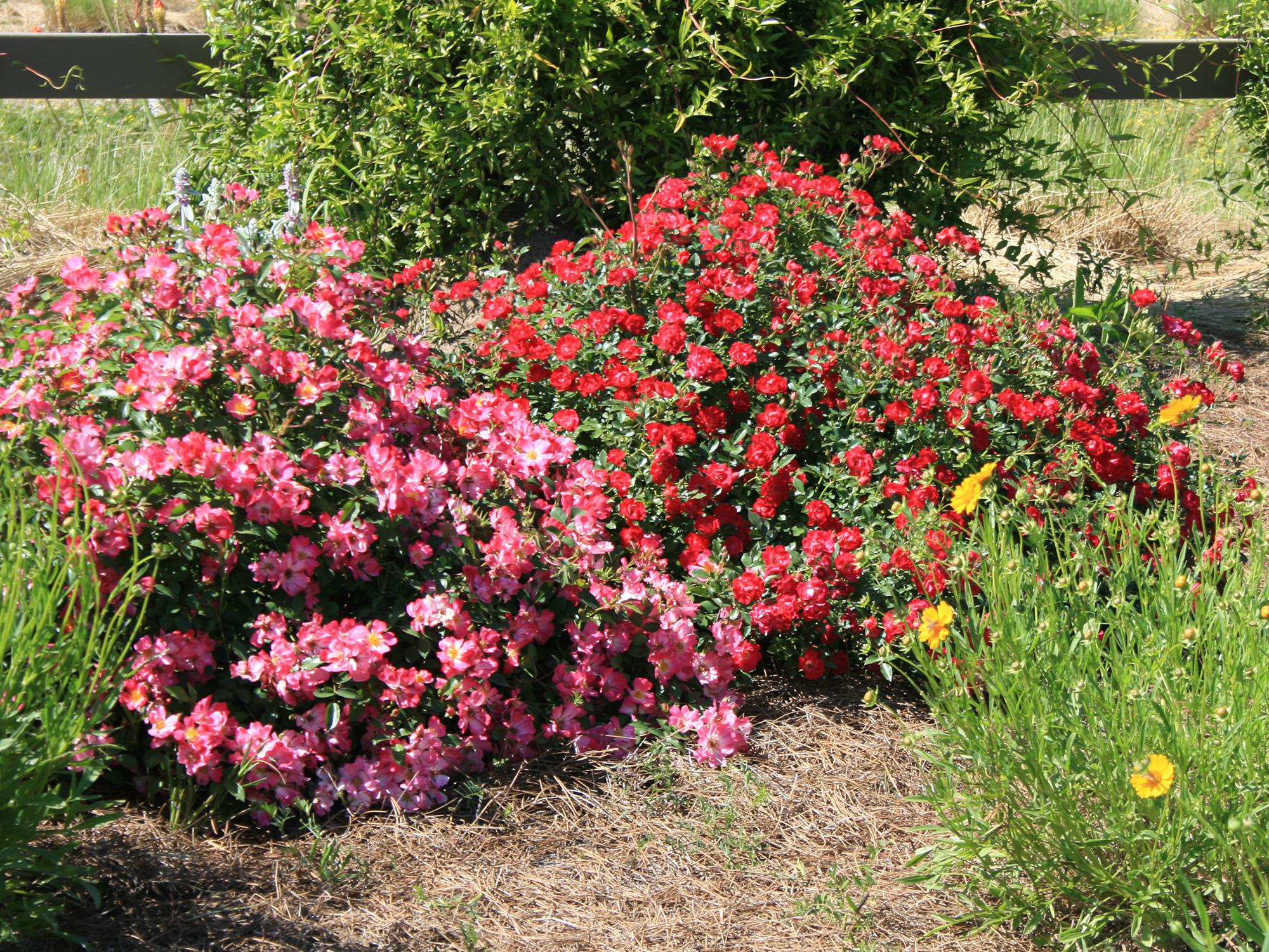 Roses In Garden: MS Medallion Winners Are Good Garden Choices