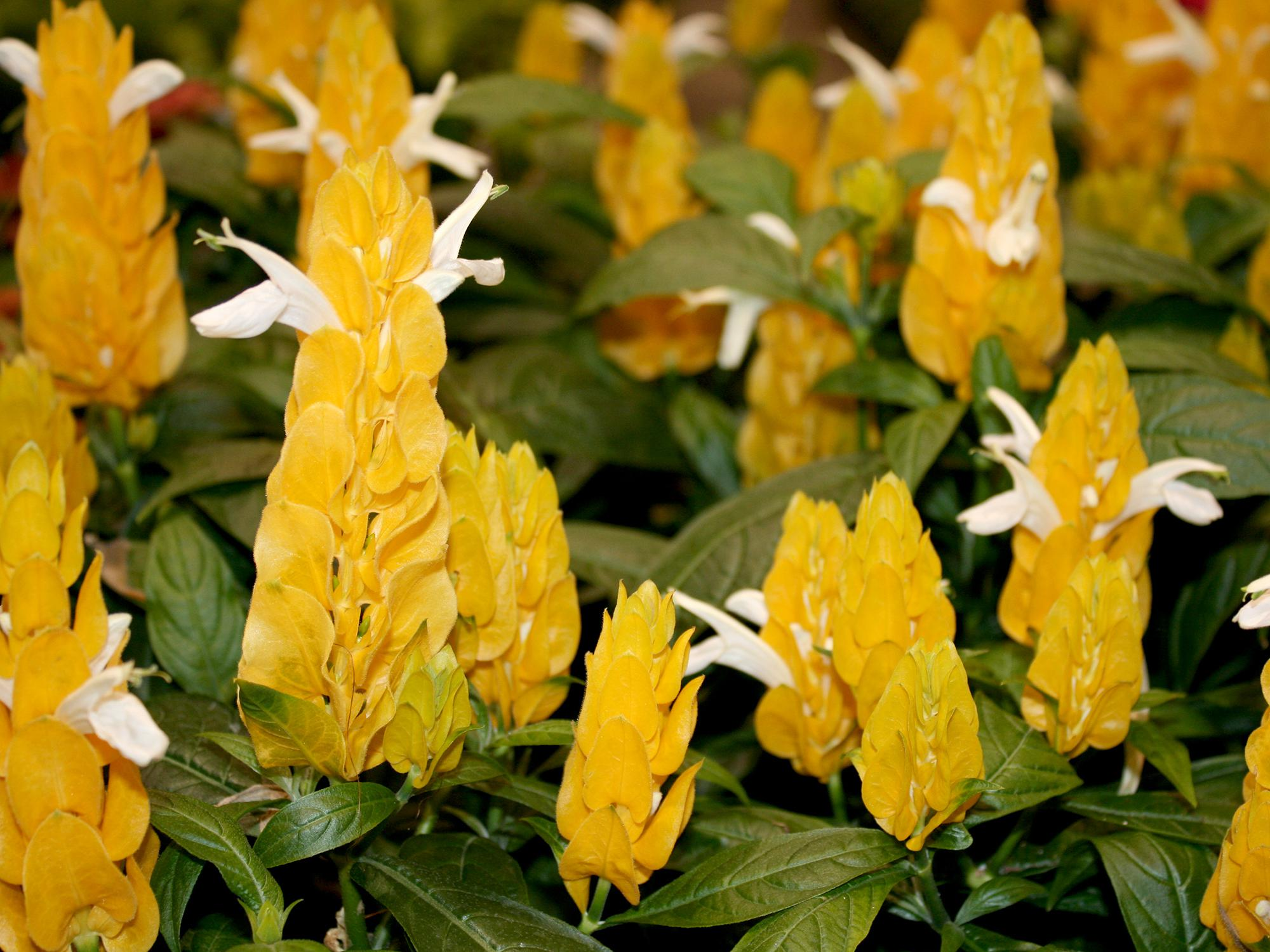 The yellow shrimp plant is easy to grow and will bloom all summer long. Plant and grow the plants where they can receive full morning sun but get some shade for protection from afternoon sunlight. (Photo by MSU Extension/Gary Bachman)