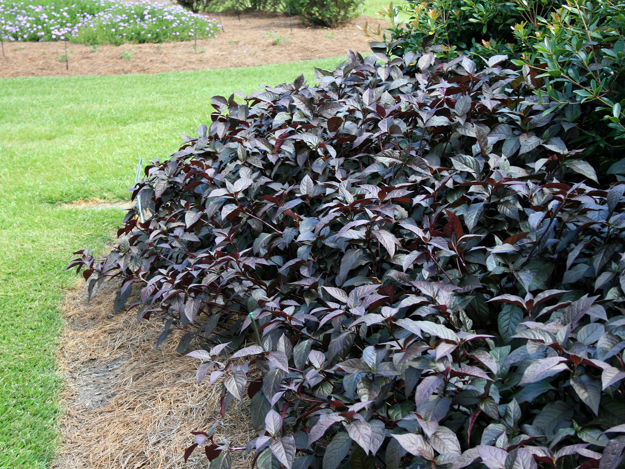 With rich soil and consistent moisture, Purple Knight Alternanthera can grow as tall as 36 inches, making it a landscape-worthy plant. (Photo by MSU Extension/Gary Bachman)