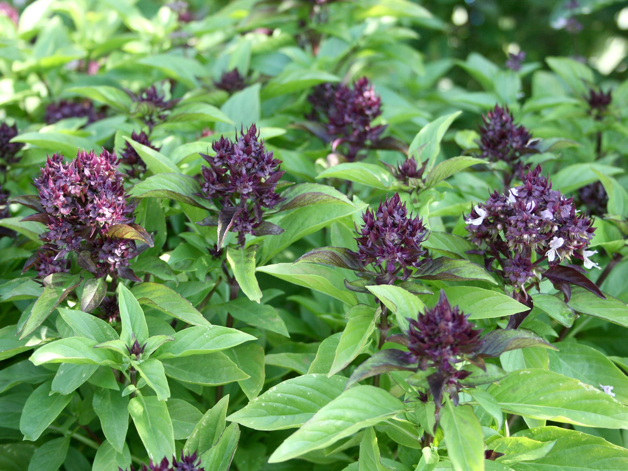 Siam Queen is a Thai basil with purple flowers and a licorice aroma and flavor (Photo by Gary Bachman/MSU Extension Service)