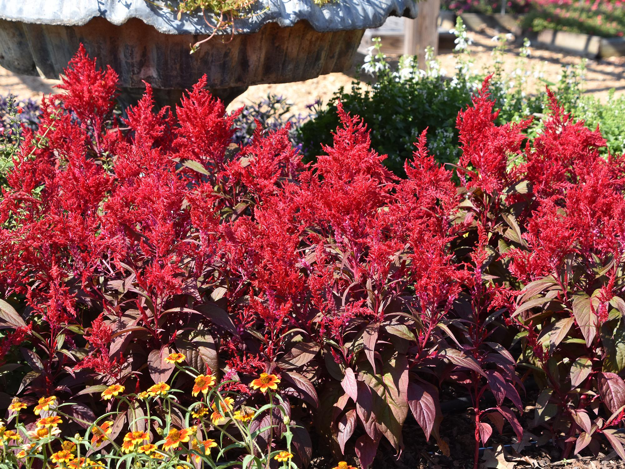 Dragon's Breath celosias grow equally well in the landscape bed or in a patio container. Its unique red-green foliage is topped with blazing red, feathery flowers. (Photo by MSU Extension/Gary Bachman)