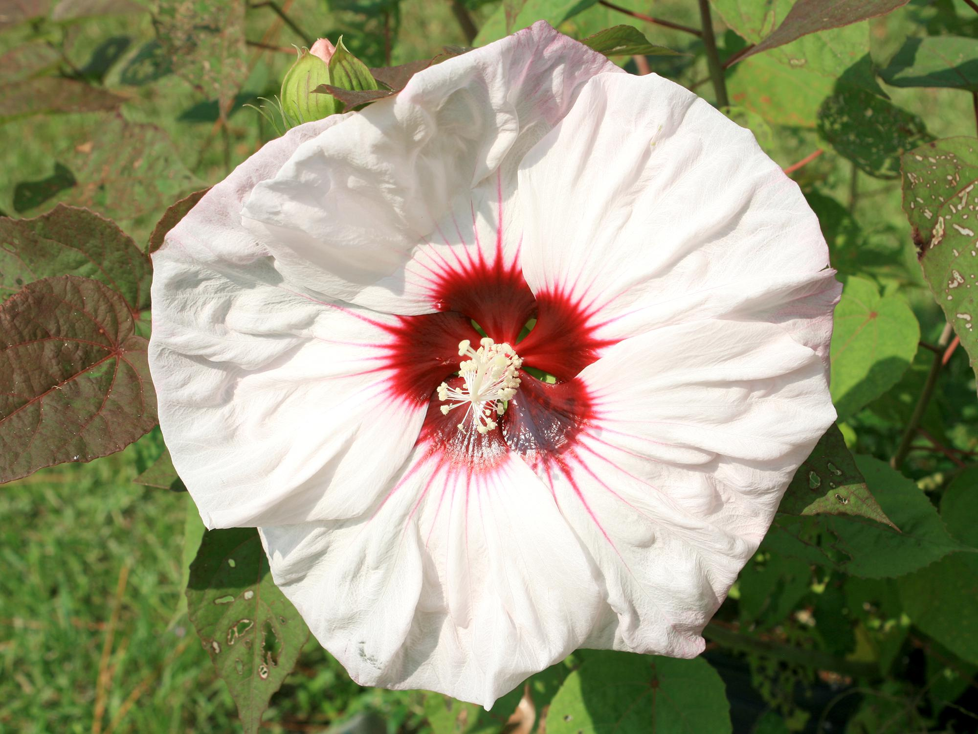 Mississippi gardens excel with hibiscus mississippi state hardy hibiscuses can withstand mississippi winters and have massive flowers many bright and beautiful colors izmirmasajfo