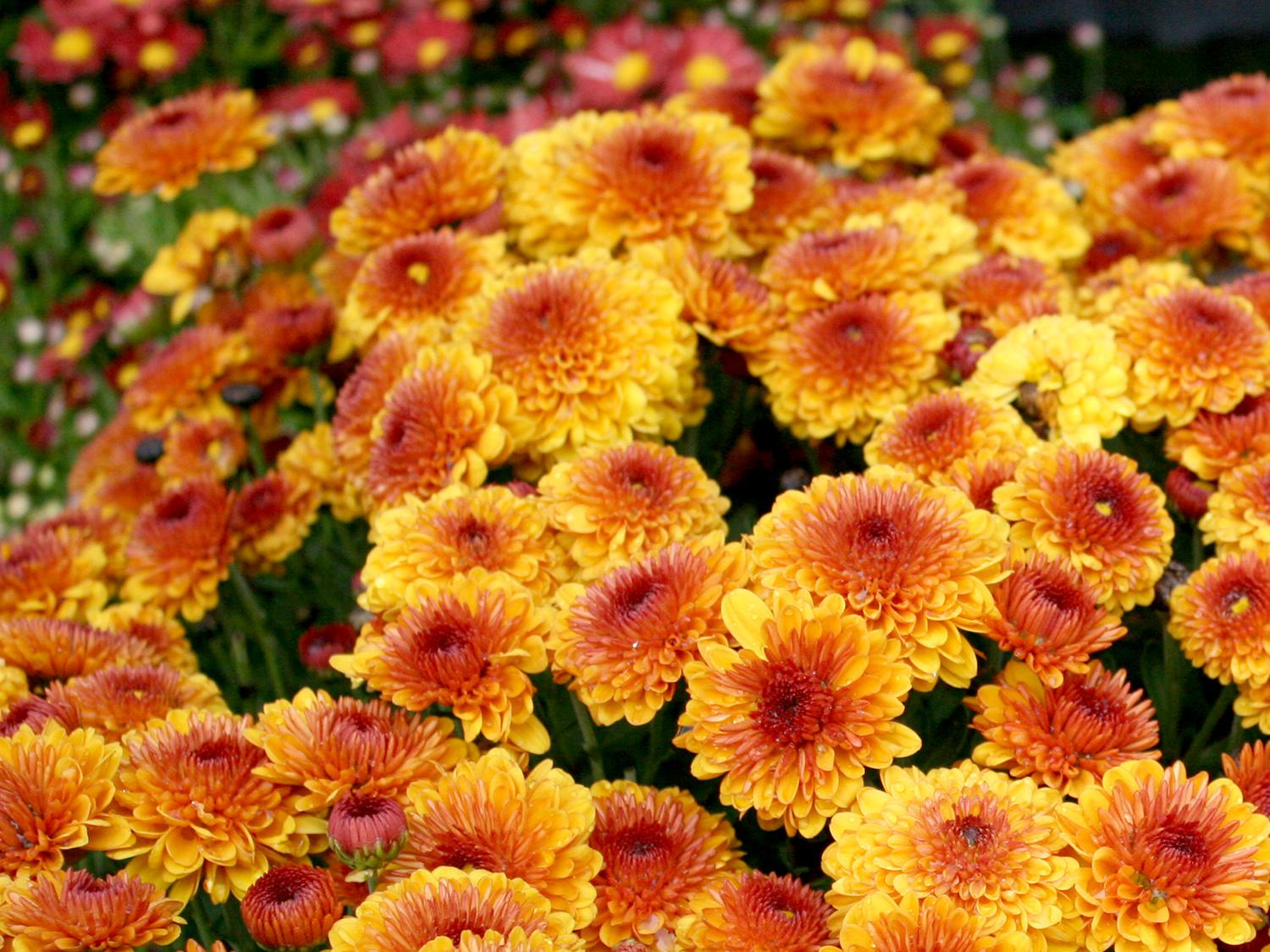Fall mums are a useful bridge crop between summer and fall. They can be treated as seasonal annuals to provide an easy and reliable display of color for the in-between period. (Photo by MSU Extension/Gary Bachman)