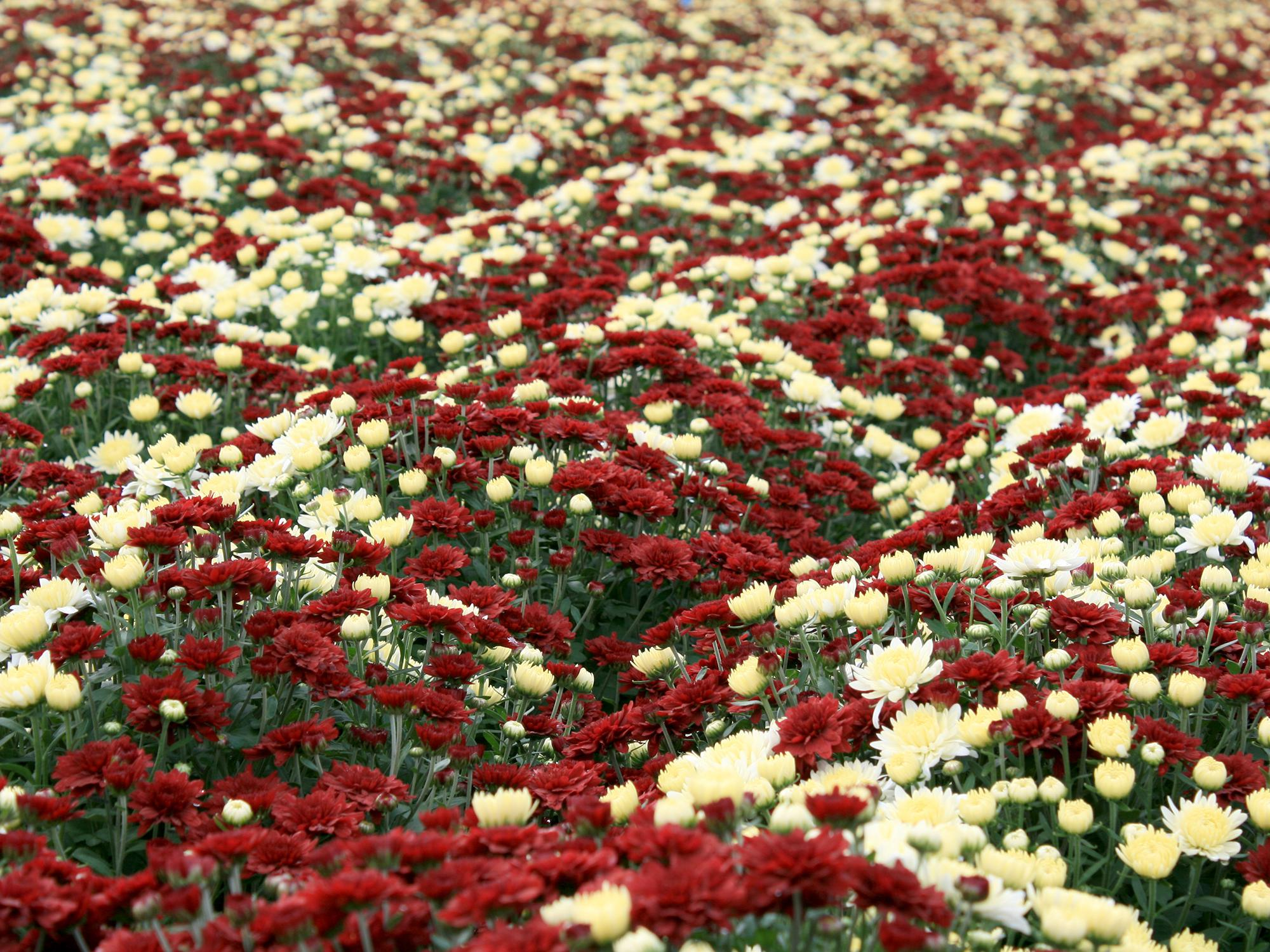 Shop now for colorful fall-blooming mums | Mississippi State ...
