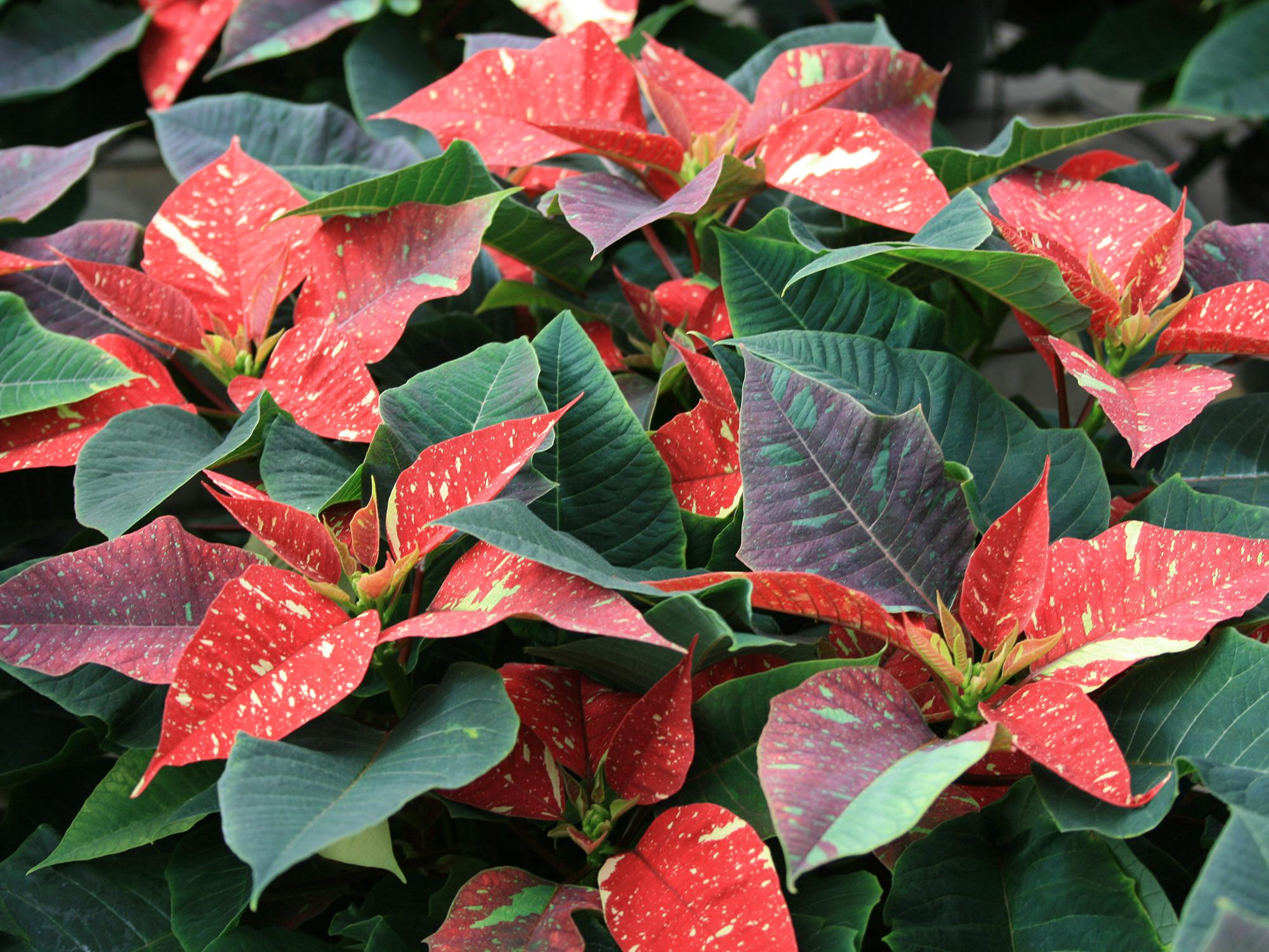 Red poinsettias are the traditional choice for many holiday gardeners, but other possibilities include these Jingle Bells poinsettias. (Photo by MSU Extension/Gary Bachman)