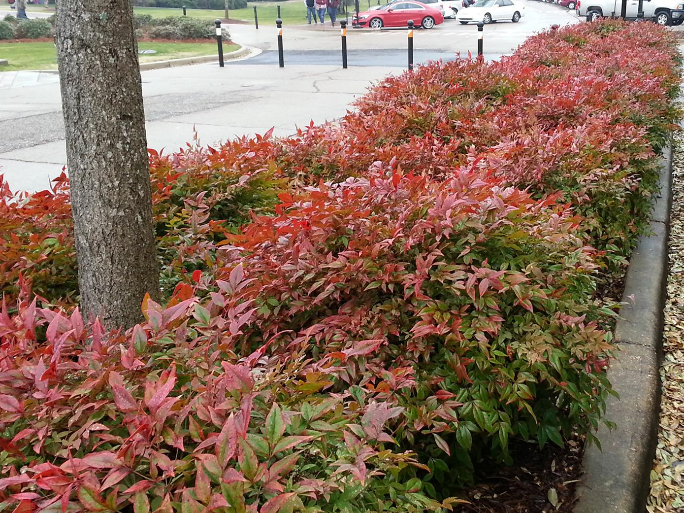 These dwarf Firepower nandinas are mass planted on the Mississippi State University campus in Starkville, Mississippi. (Photo by MSU Extension/Gary Bachman)