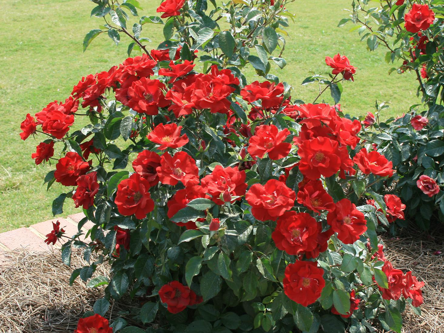 Roses are a beautiful addition to home landscapes, and certain modern varieties offer reliable performance without requiring expert care. (Photo by MSU Extension/Gary Bachman)