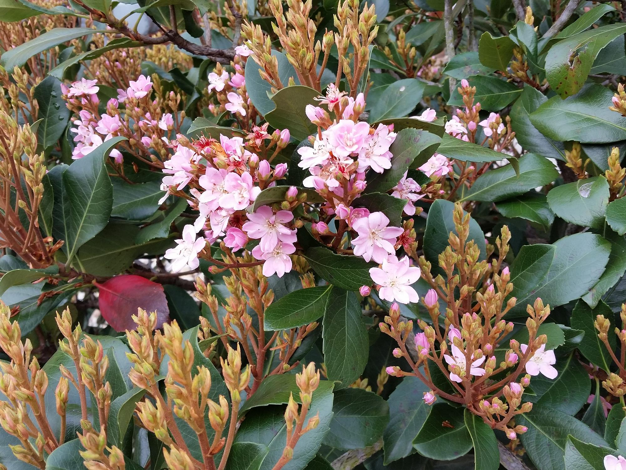 Indian hawthorns are typically small shrubs, but the Rosalinda selection can grow up to about 15 feet if left unpruned. It produces bright-pink flowers in late spring and early summer. (Photo by MSU Extension/Gary Bachman)