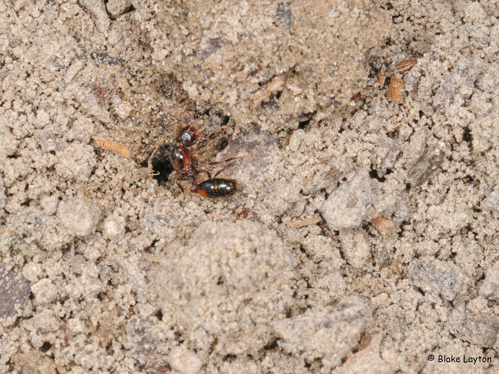 An Imported Fire Ant queen digging in soil.