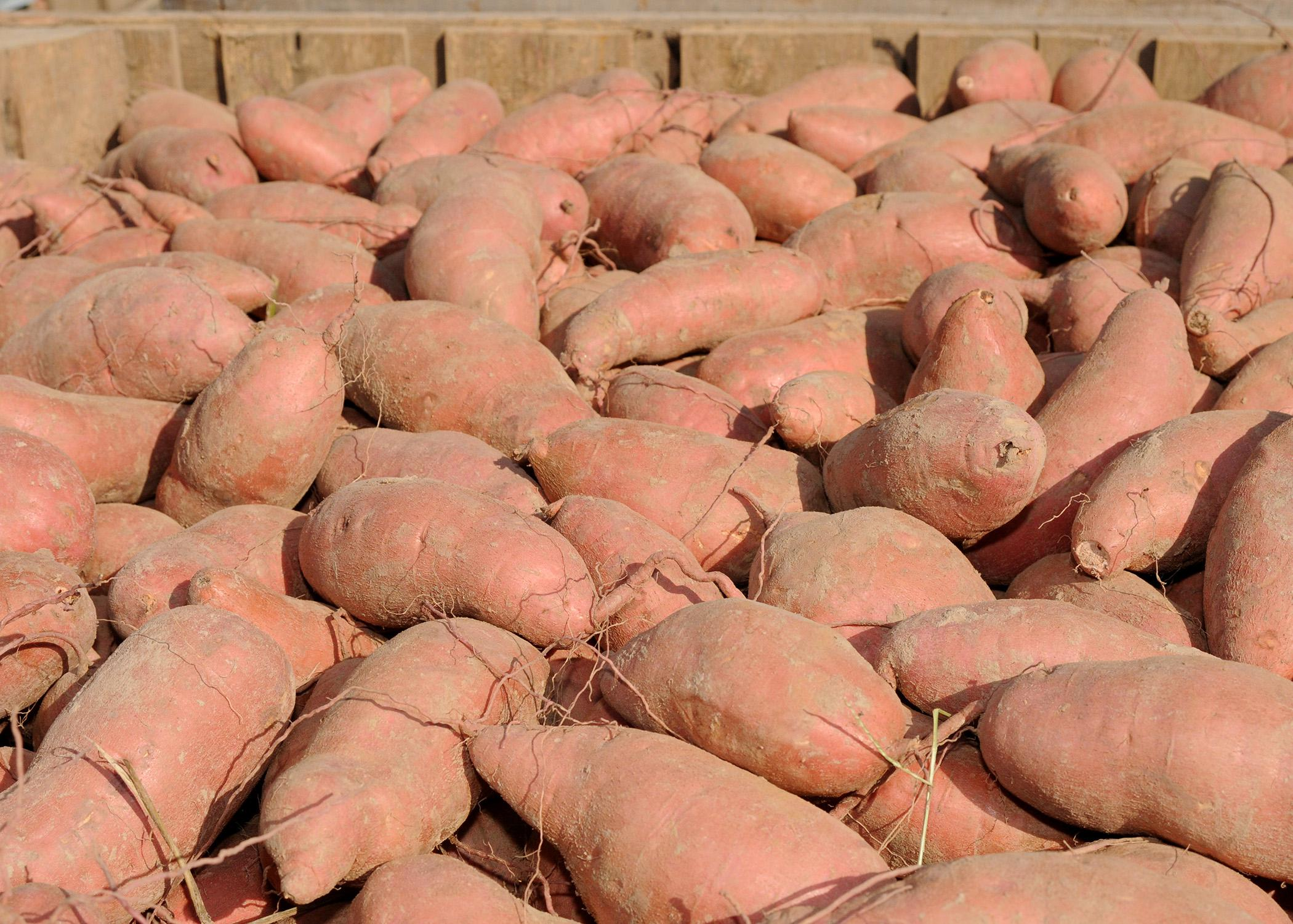 Sweet potato growers, crop consultants and other agricultural professionals can learn about current research and issues at a field day Aug. 20.