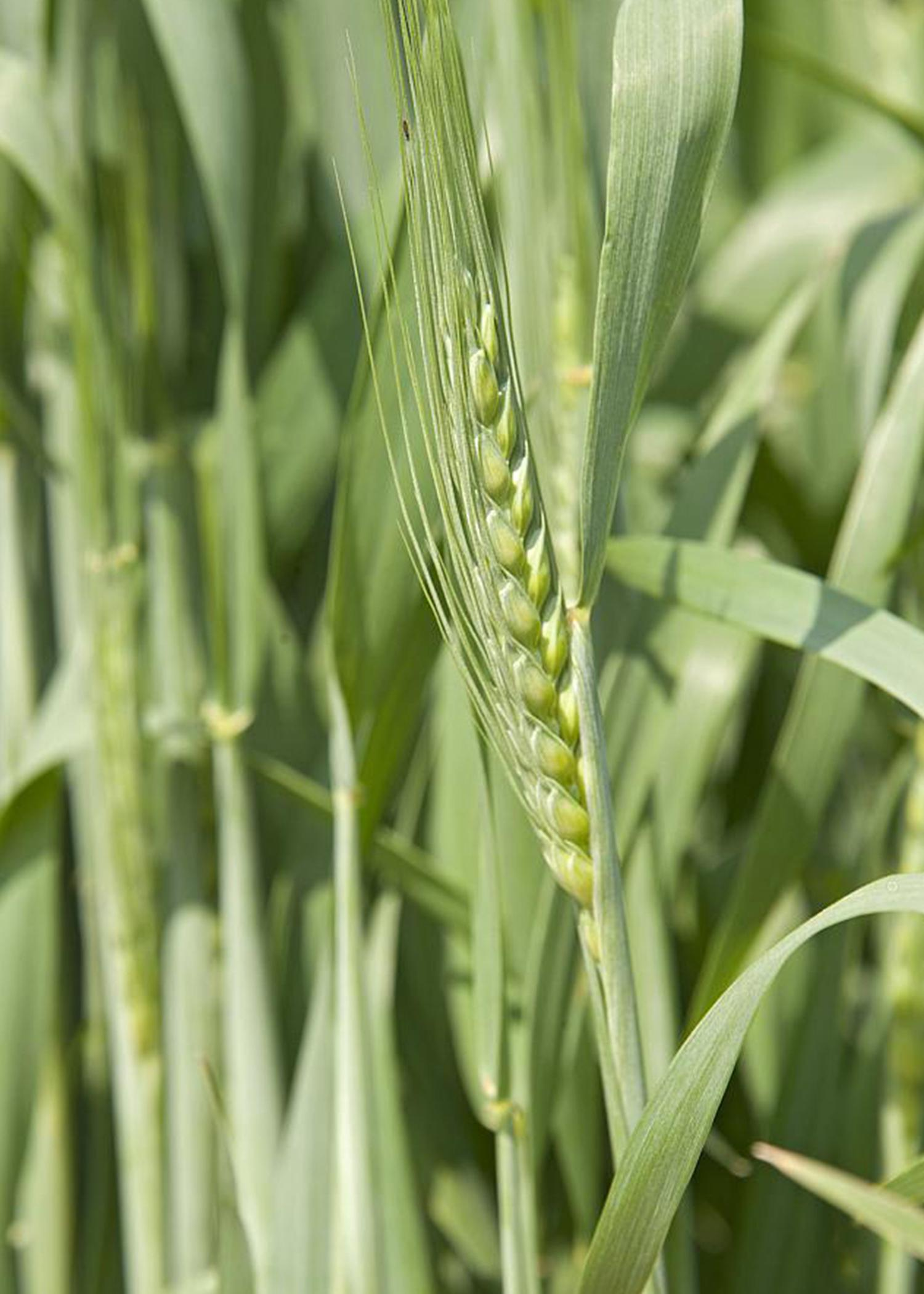 Some producers of winter wheat, such as this wheat grown during the 2013-2014 season at the Mississippi State University R.R. Foil Plant Science Research Center, are eligible for a Supplemental Coverage Option in addition to their crop insurance policies. (File Photo by MSU Ag Communications/Kat Lawrence)