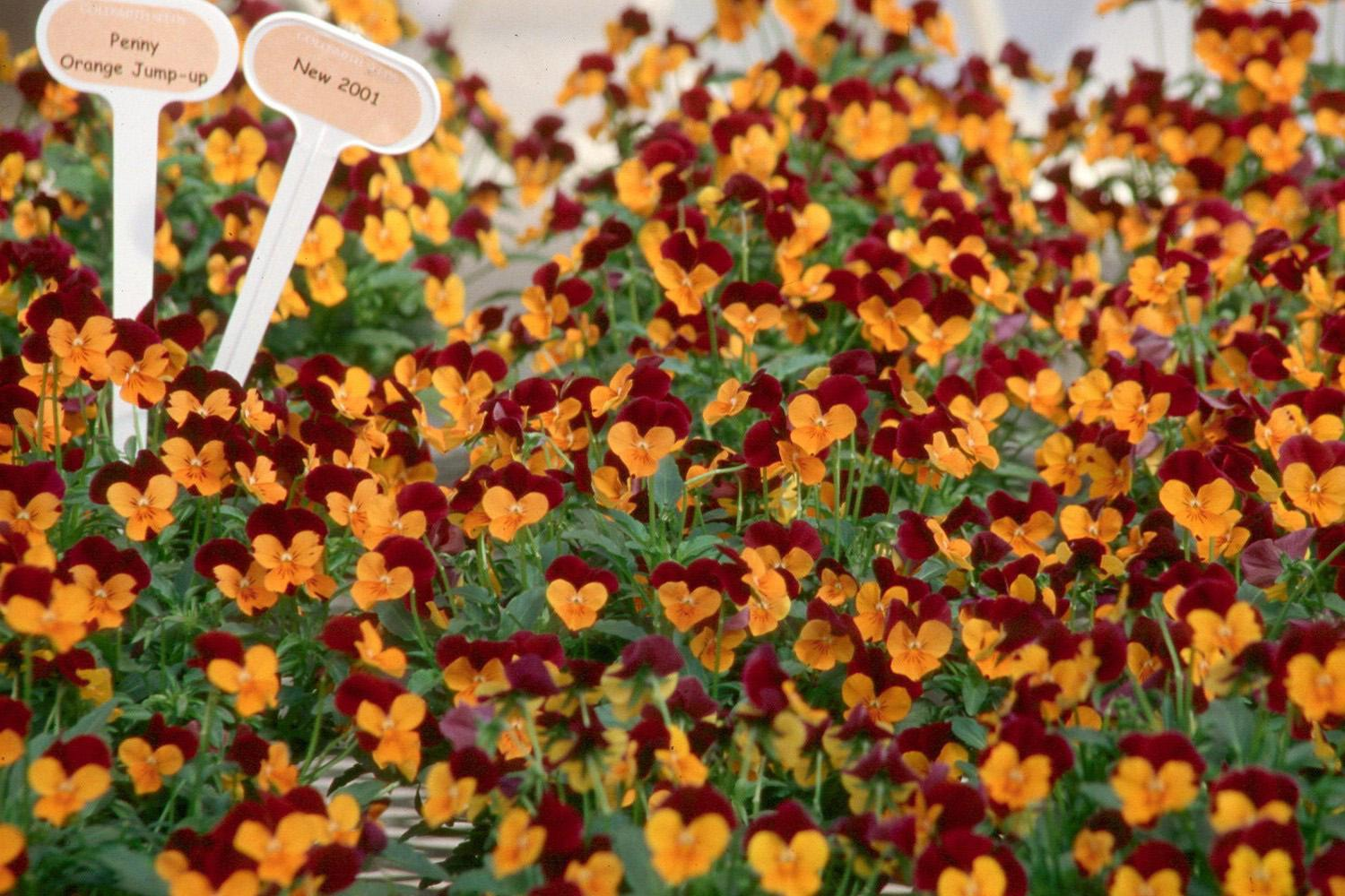 Pansy Orange Jump-up viola