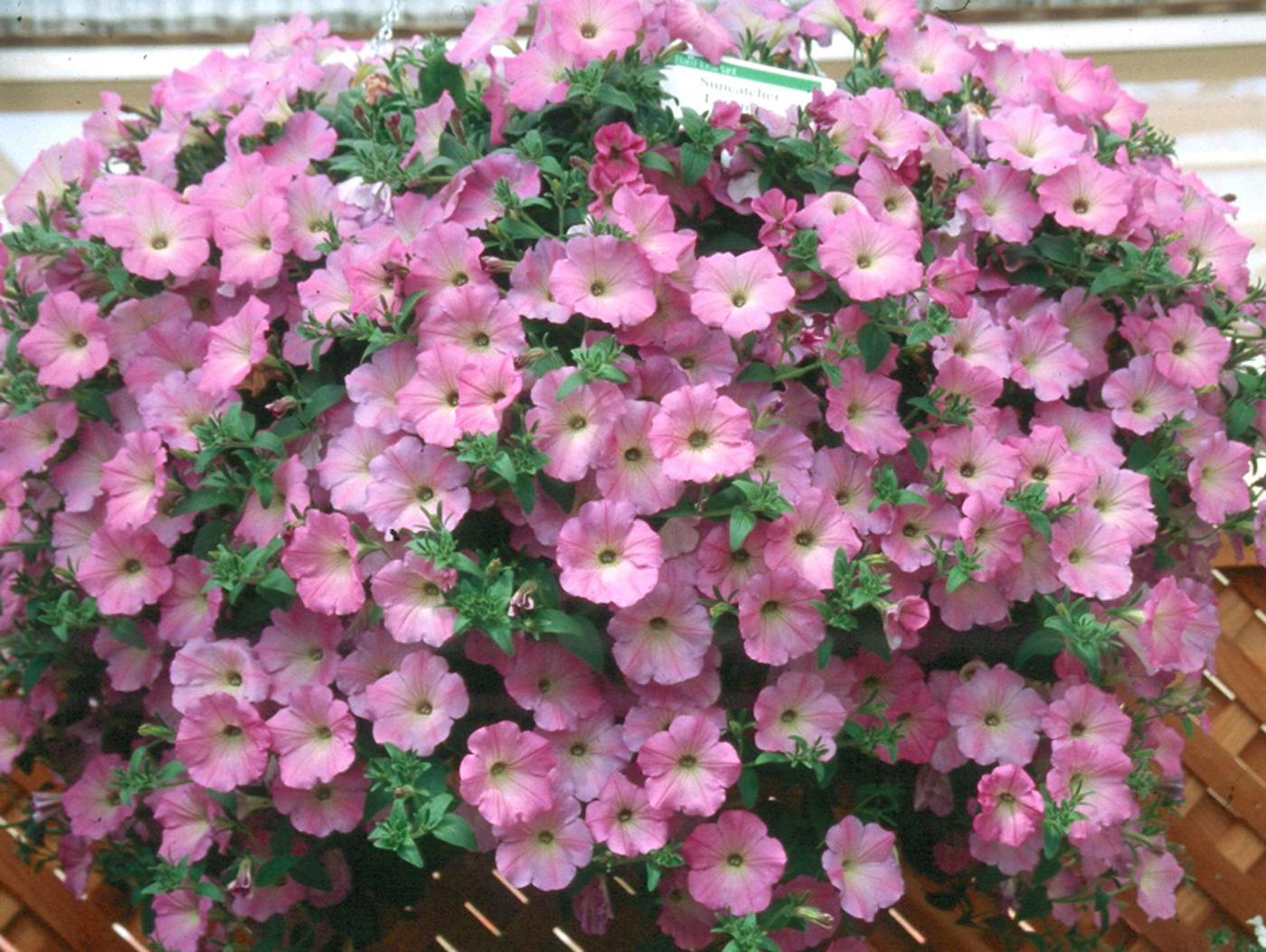 Ball Flora Plant, a division of Ball Seed, is introducing the Suncatcher series of petunias . These are large showy petunias that bring a bright, colorful impact to the garden or basket.