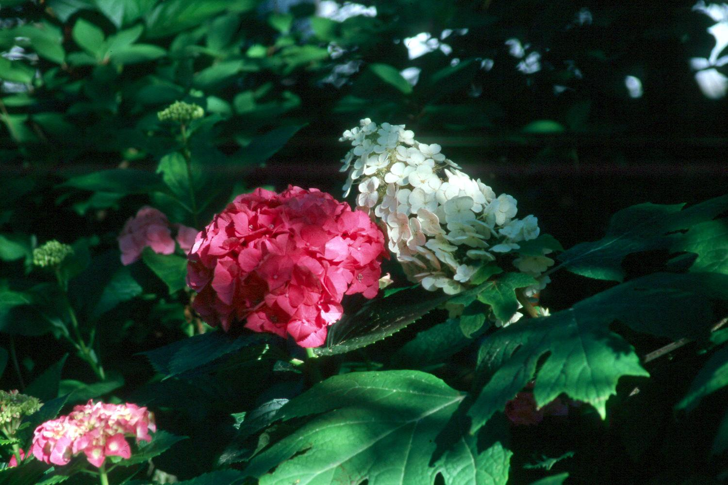 This pink french hydrangea combines beautifully with the Mississippi Medallion award-winning, native oakleaf hydrangea.