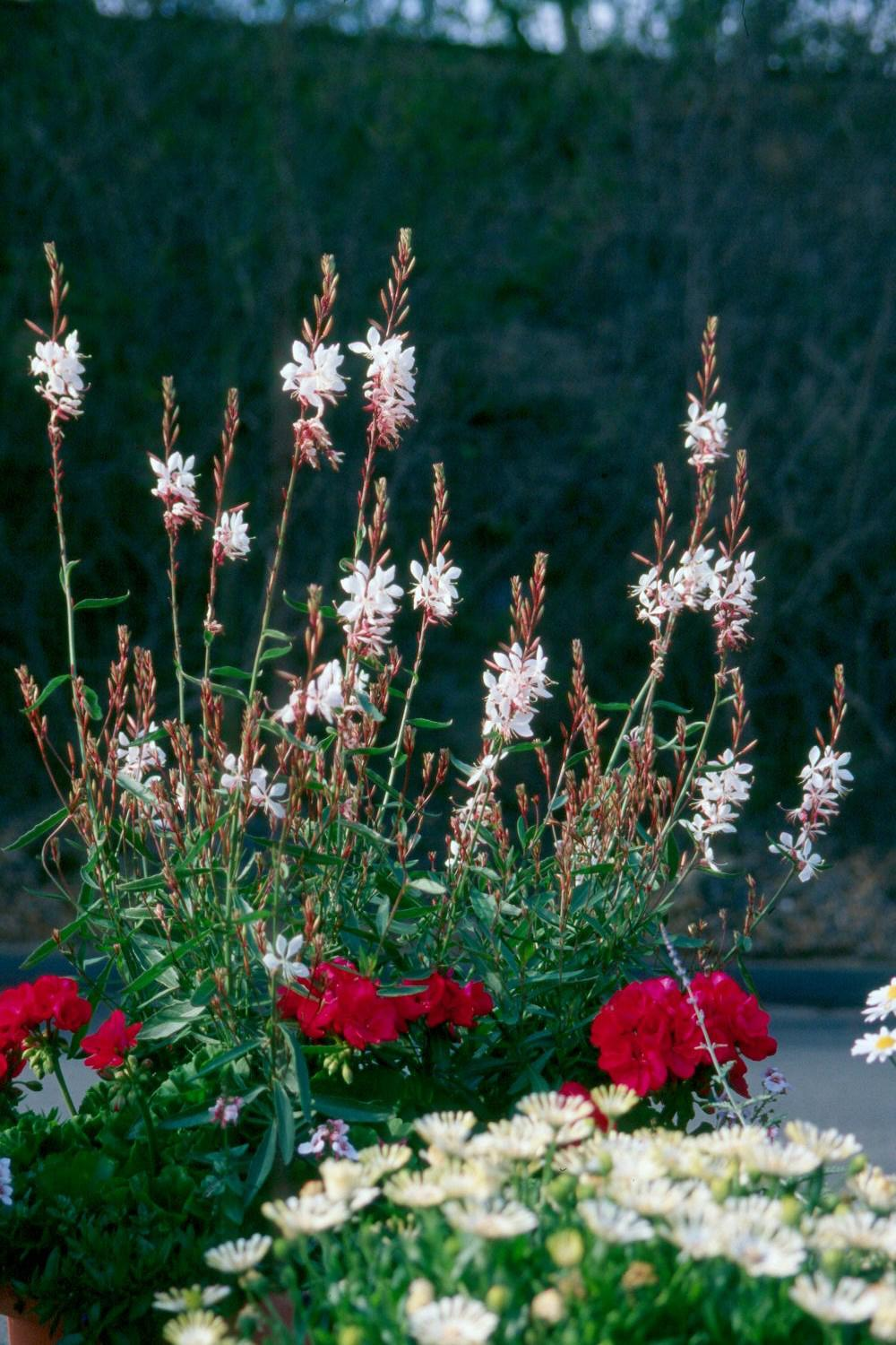 Gaura ranks among the souths hottest plants mississippi state the tall airy looking flowers of the gaura give the appearance of butterflies floating mightylinksfo