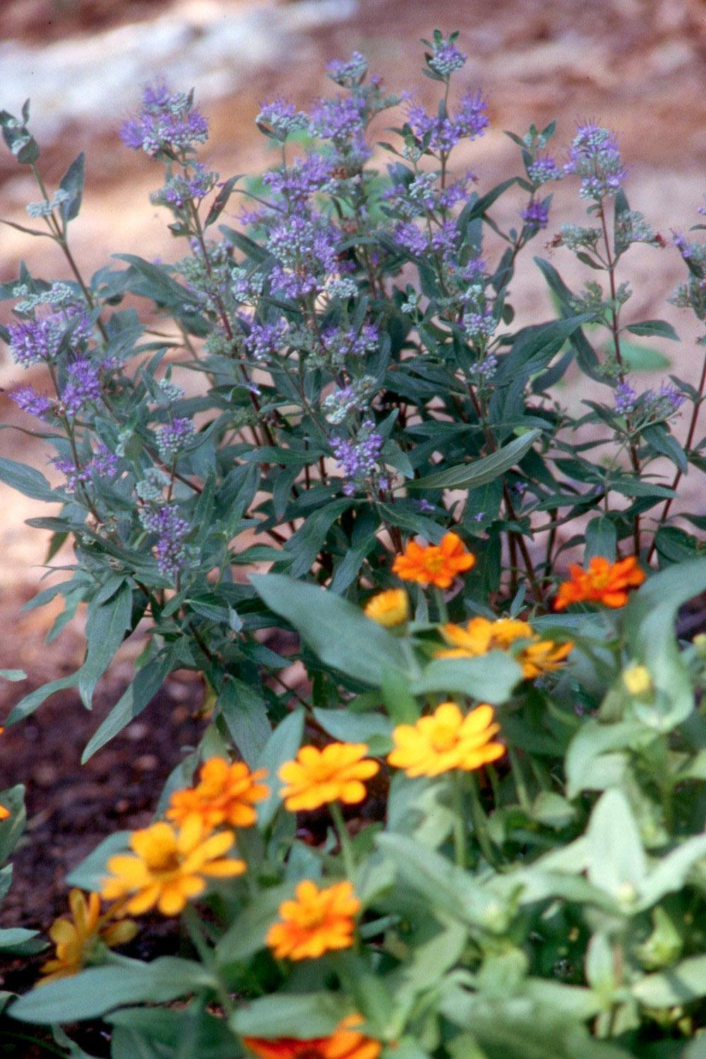 Caryopteris Or Bluebeard Is Outstanding In Gardens Mississippi