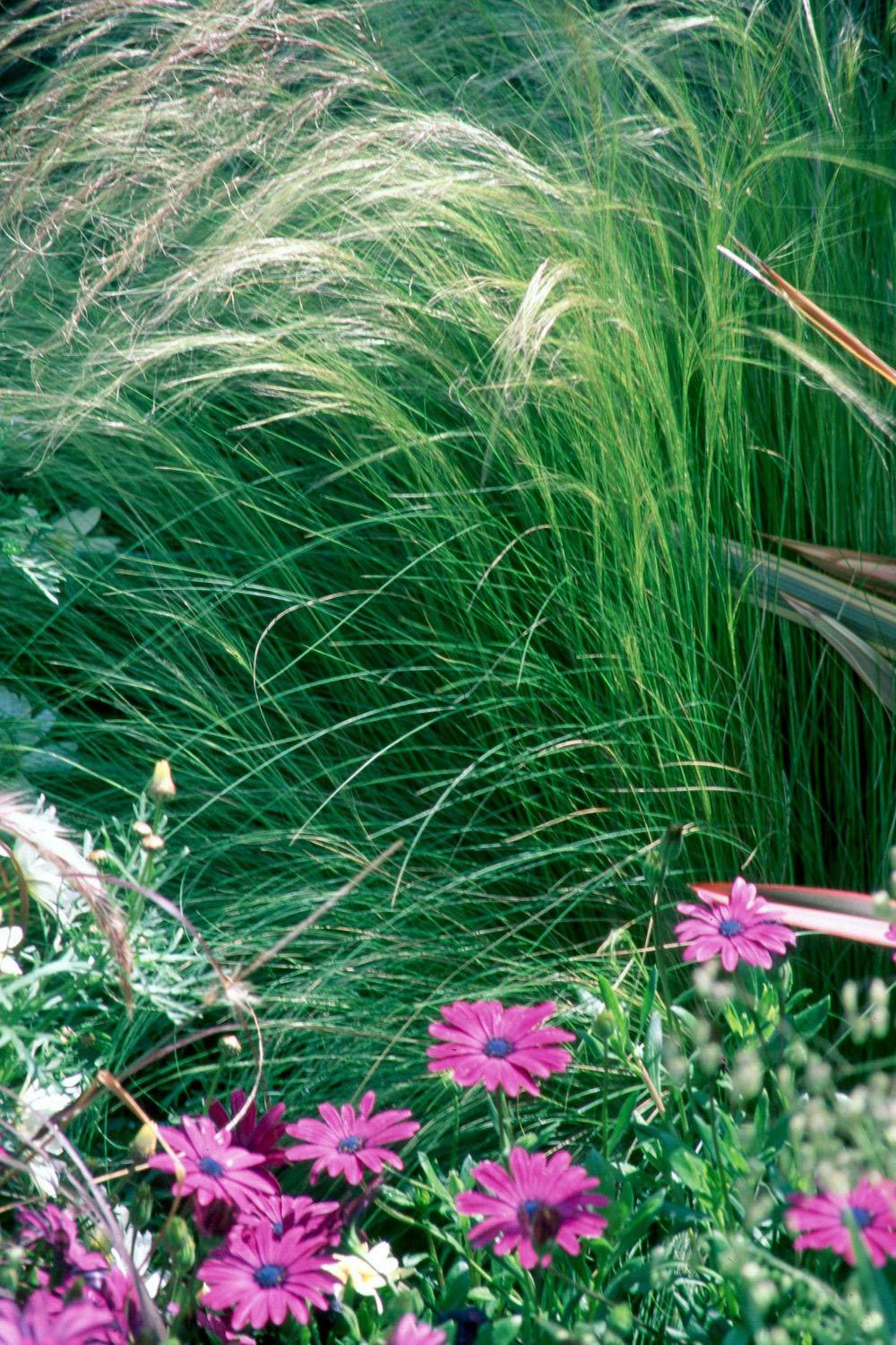The silky, hair-like blossoms of the Mexican feather grass move gracefully with the gentle breeze.