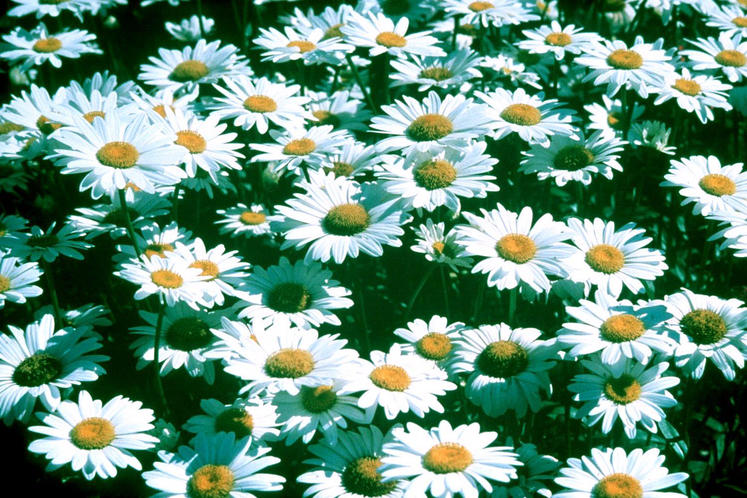 The old-fashioned shasta daisy is one of the most loved plants in the South. This variety, Becky, has been chosen as the Perennial Plant of the Year for 2003.