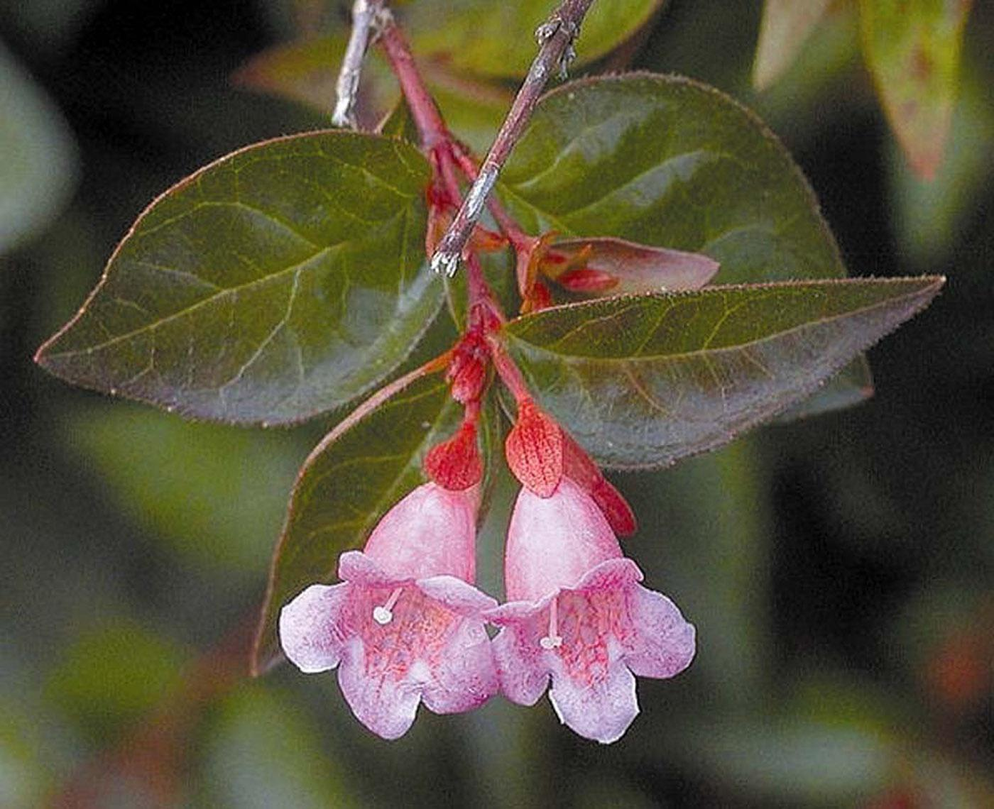 Edward Gaucher abelia is a 2003 Mississippi Medallion winner for its ability to thrive in the Hospitality State. This low-maintenance plant will yield months of blooms to delight hummingbirds, butterflies and people.