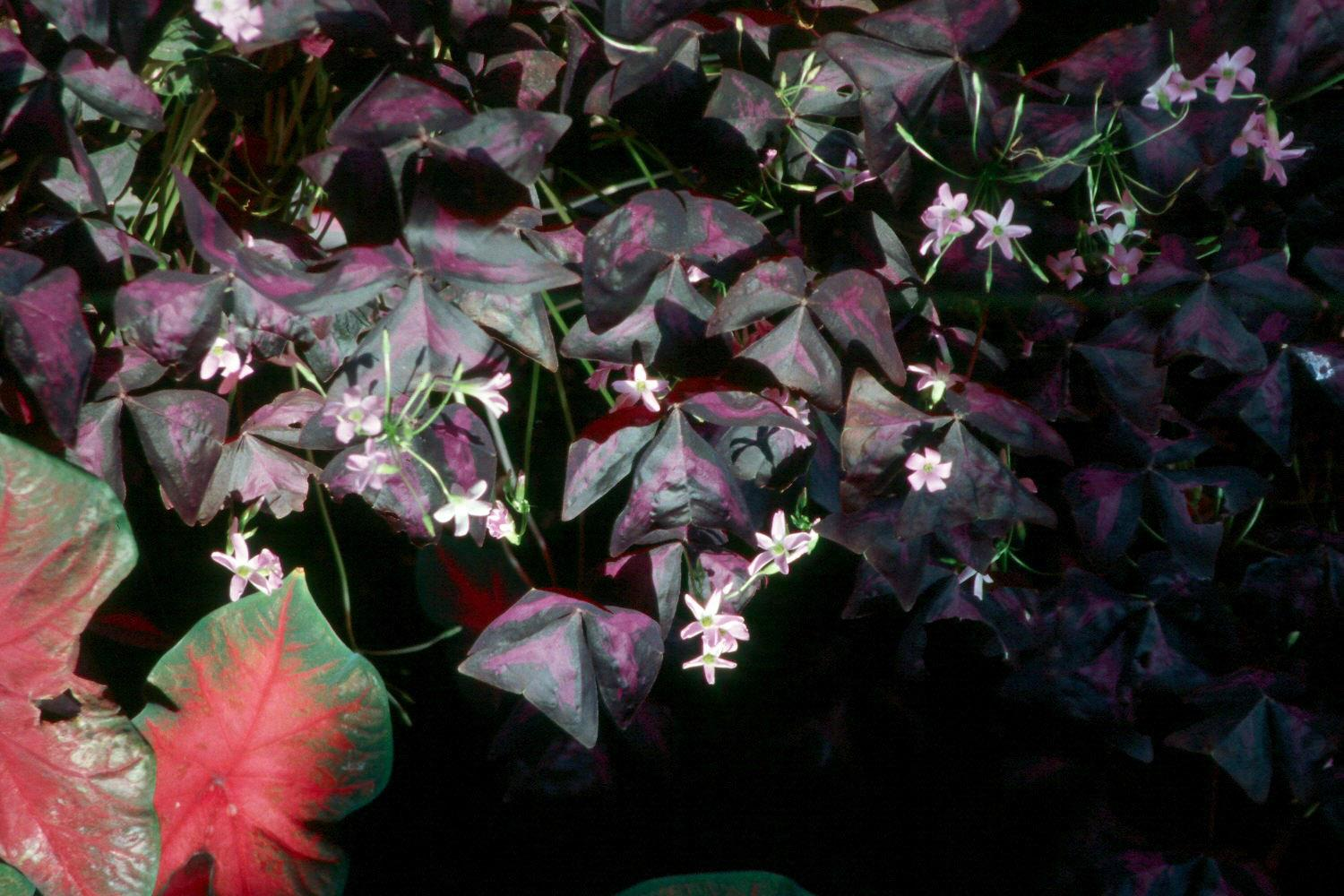 Purple oxalis has character and charm for a shady spot in the landscape. It features large, triangular leaves of deep purple, and its nearly one-inch flowers range in color from pink to lilac.