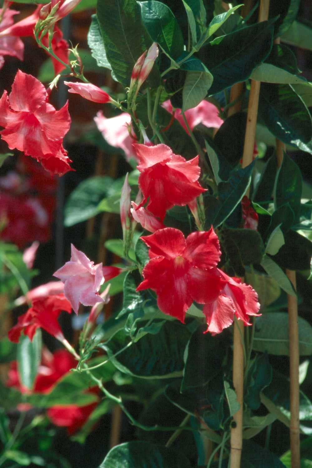 The Ruby Star features pointed petals and maintains its red color well .
