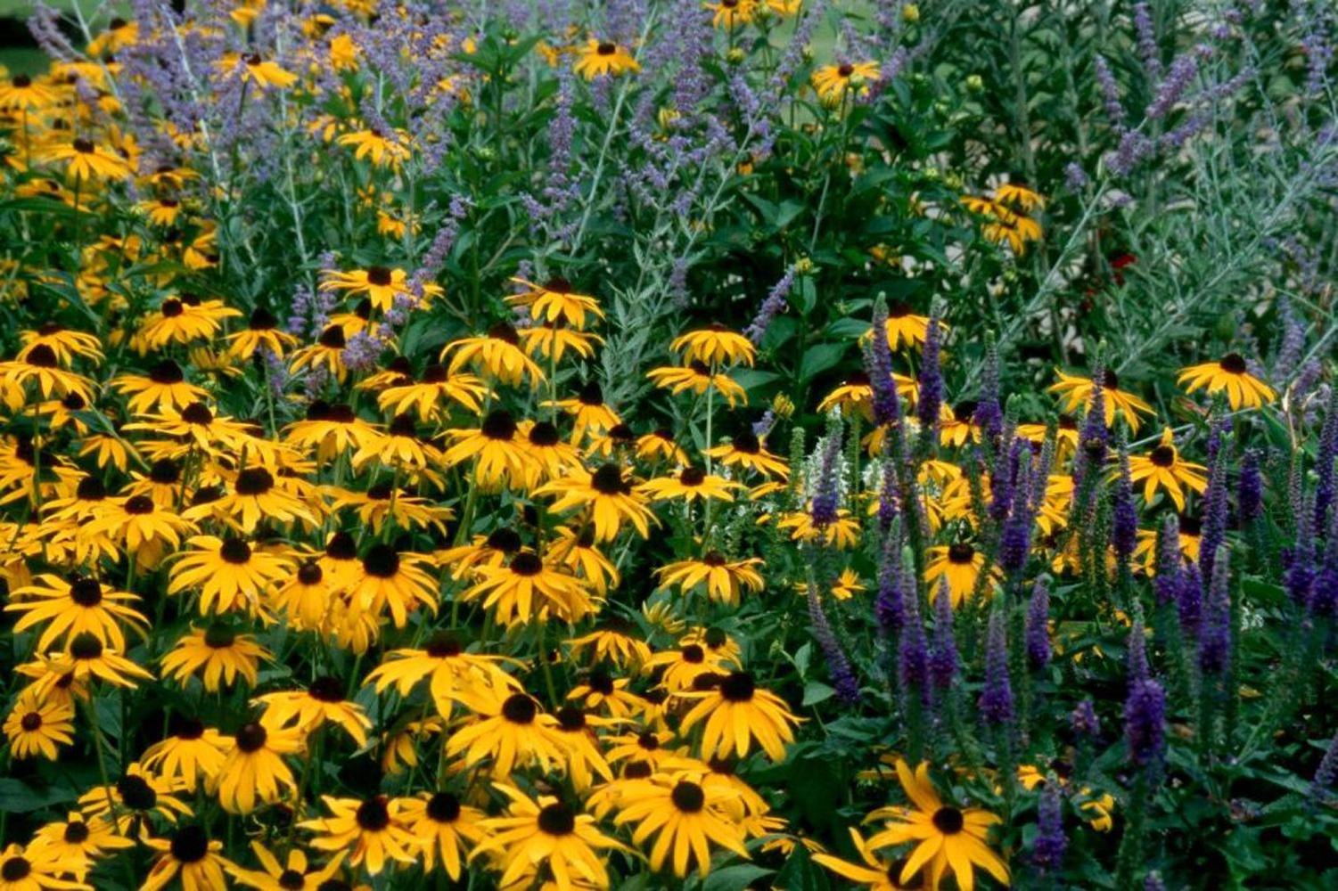 The dark blue-violet of Sunny Border Blue Veronica partners well with Goldsturm rudbeckia and the light blue Russian sage.