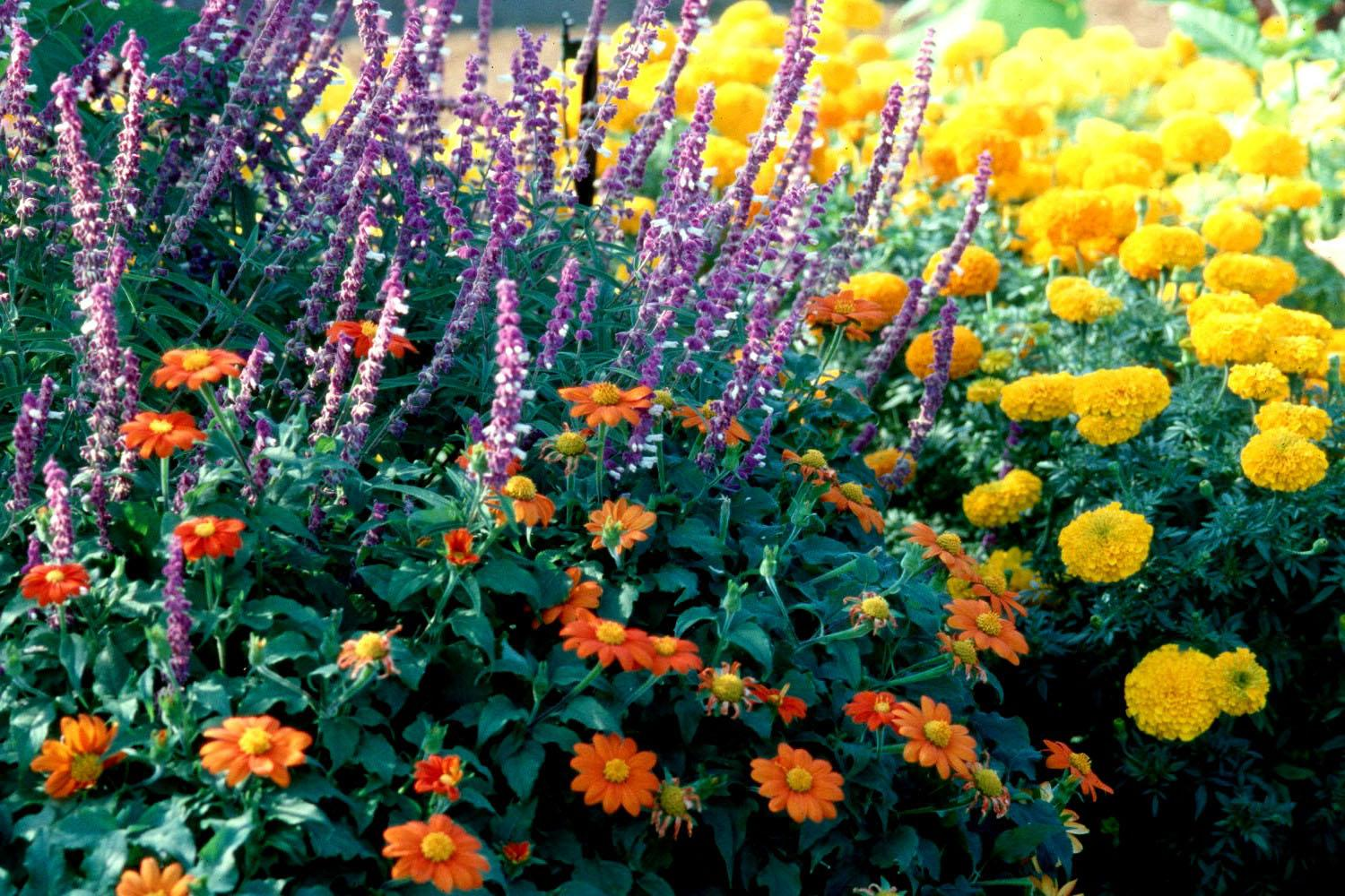 The real garden fiesta begins once you start growing the Mexican bush sage with the Mexican sunflower.