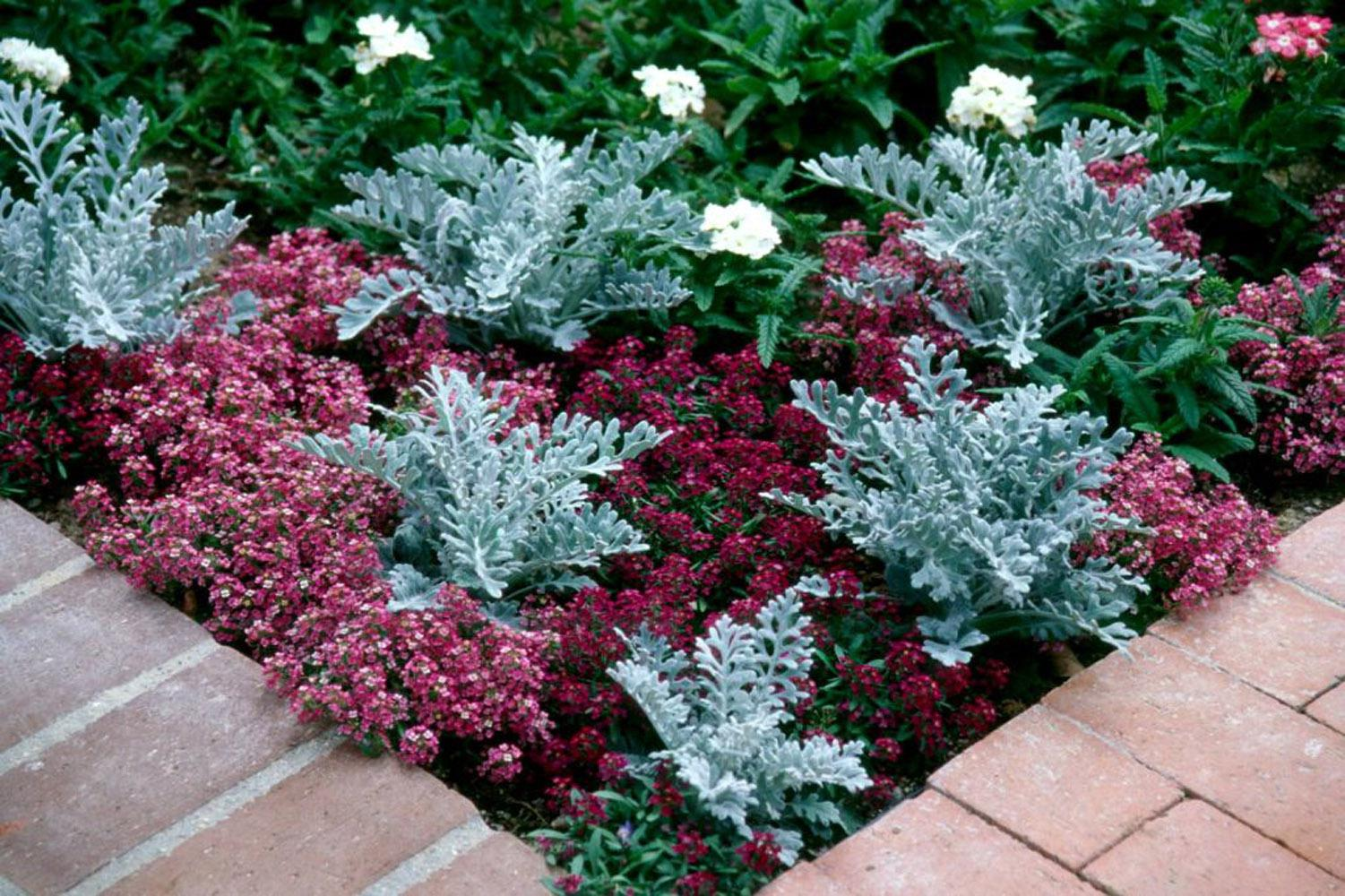 In addition to combining with sweet alyssum, pansy or dianthus in the fall, try dusty miller with other drought-tolerant spring selections like gomphrena, salvia, purple heart, pink lantana and yarrow.